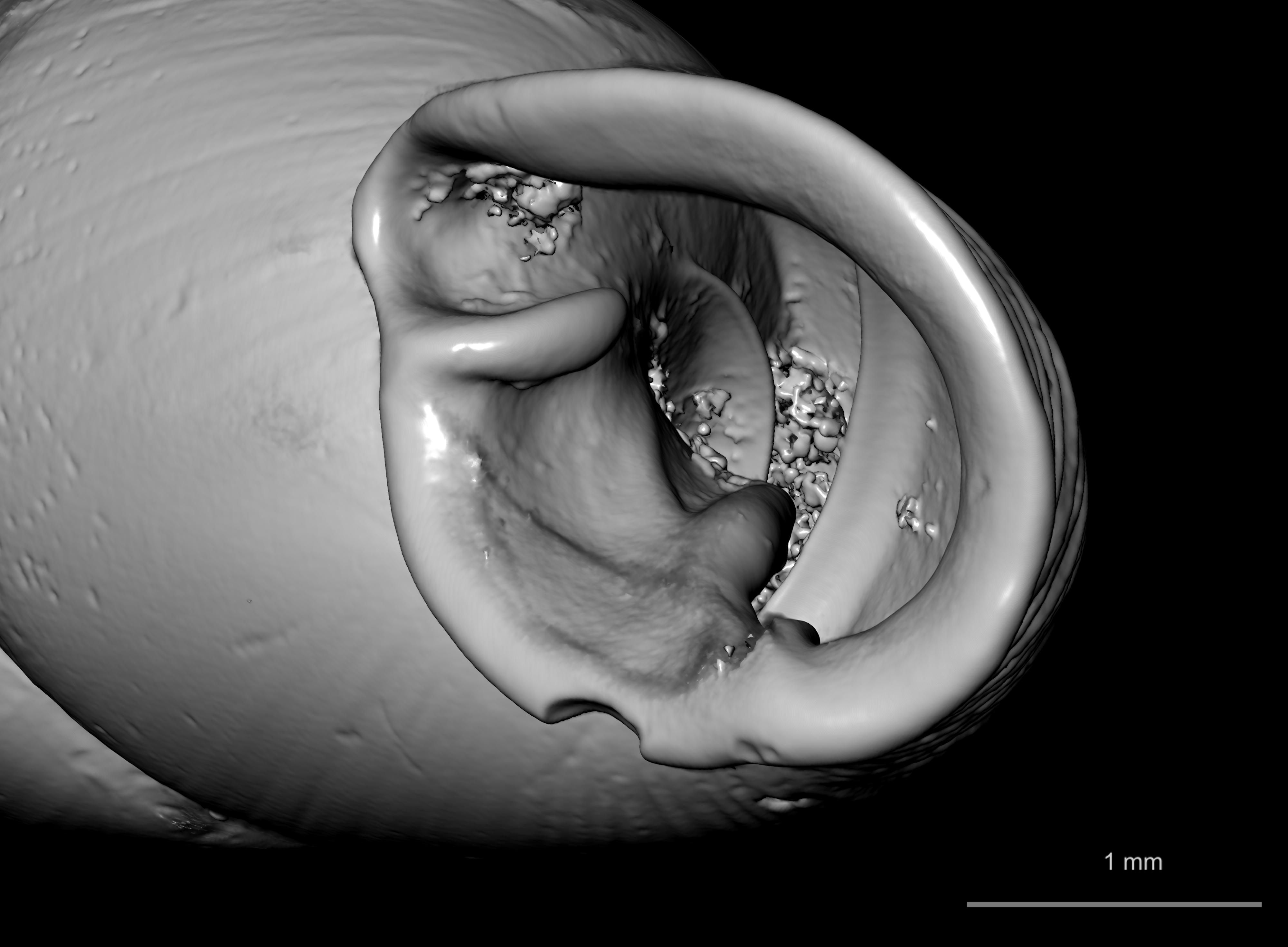 BE-RBINS-INV SYNTYPE MT 2415 Clausilia flaveola OBLIQUE ZOOM MCT XRE.jpg