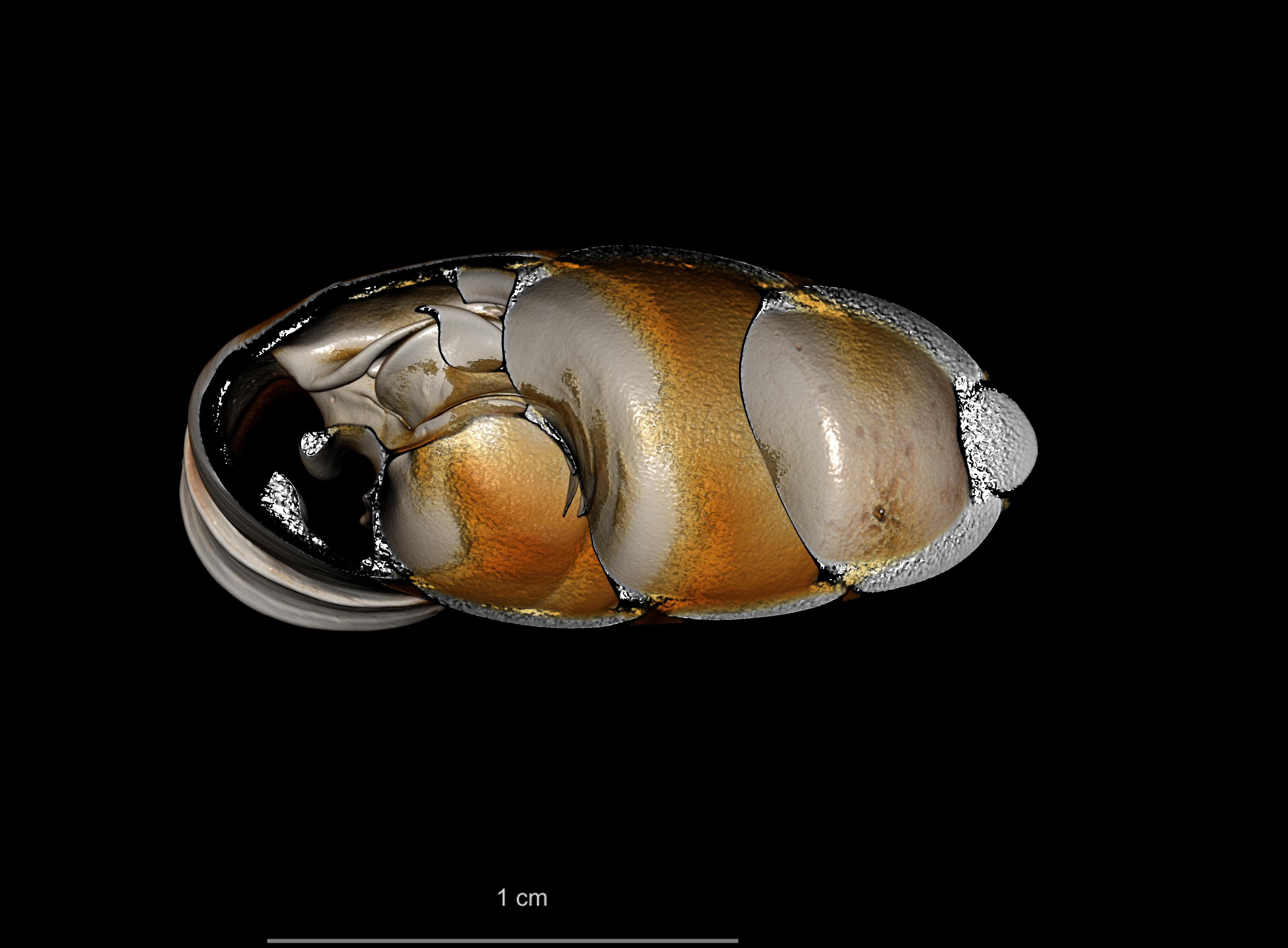BE-RBINS-INV SYNTYPE MT 2417 Clausilia mansuyi MCT XRE DORSAL CUT.jpg