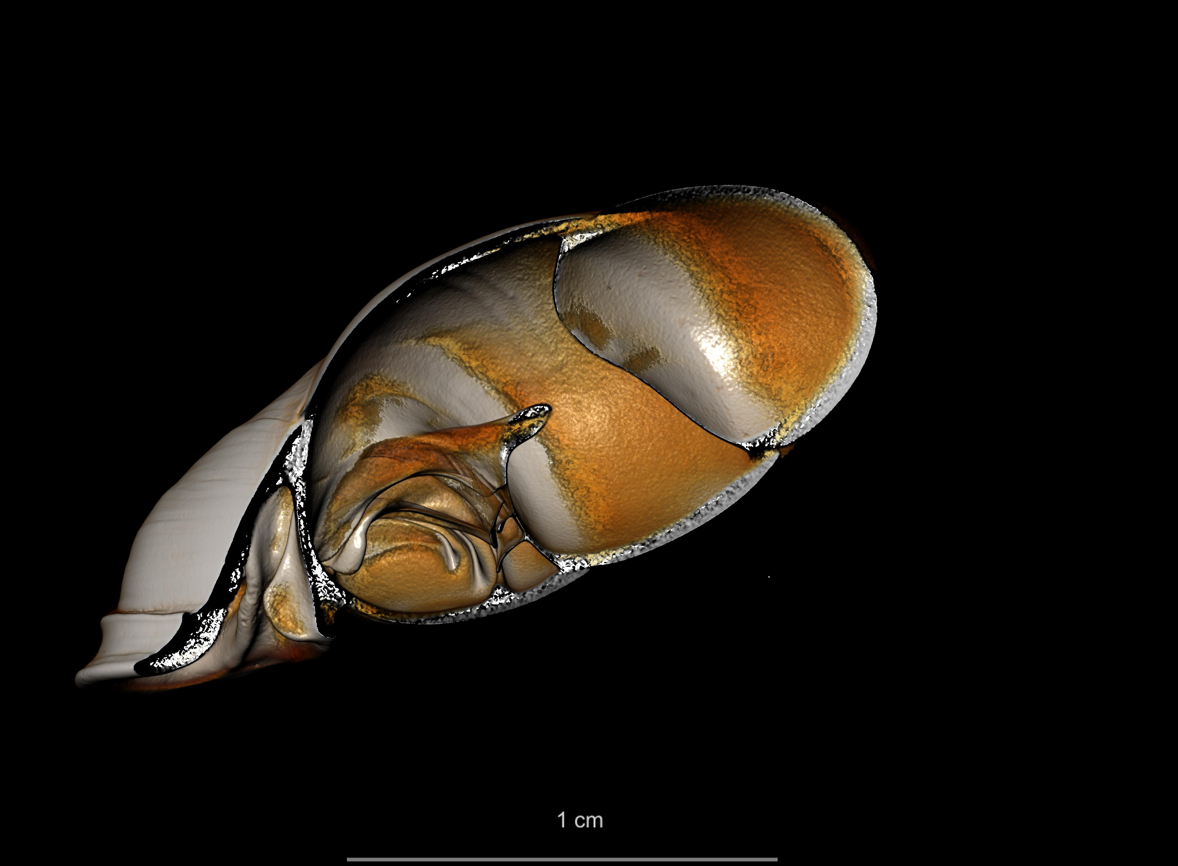 BE-RBINS-INV SYNTYPE MT 2417 Clausilia mansuyi MCT XRE LEFT CUT.jpg