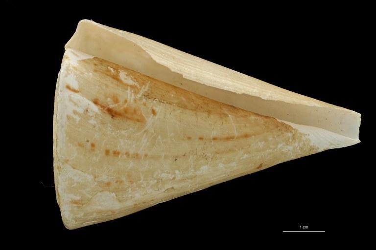 BE-RBINS-INV HOLOTYPE MT 441 Conus (Plicaustraconus) adami VENTRAL ZS PMax Scaled.jpg