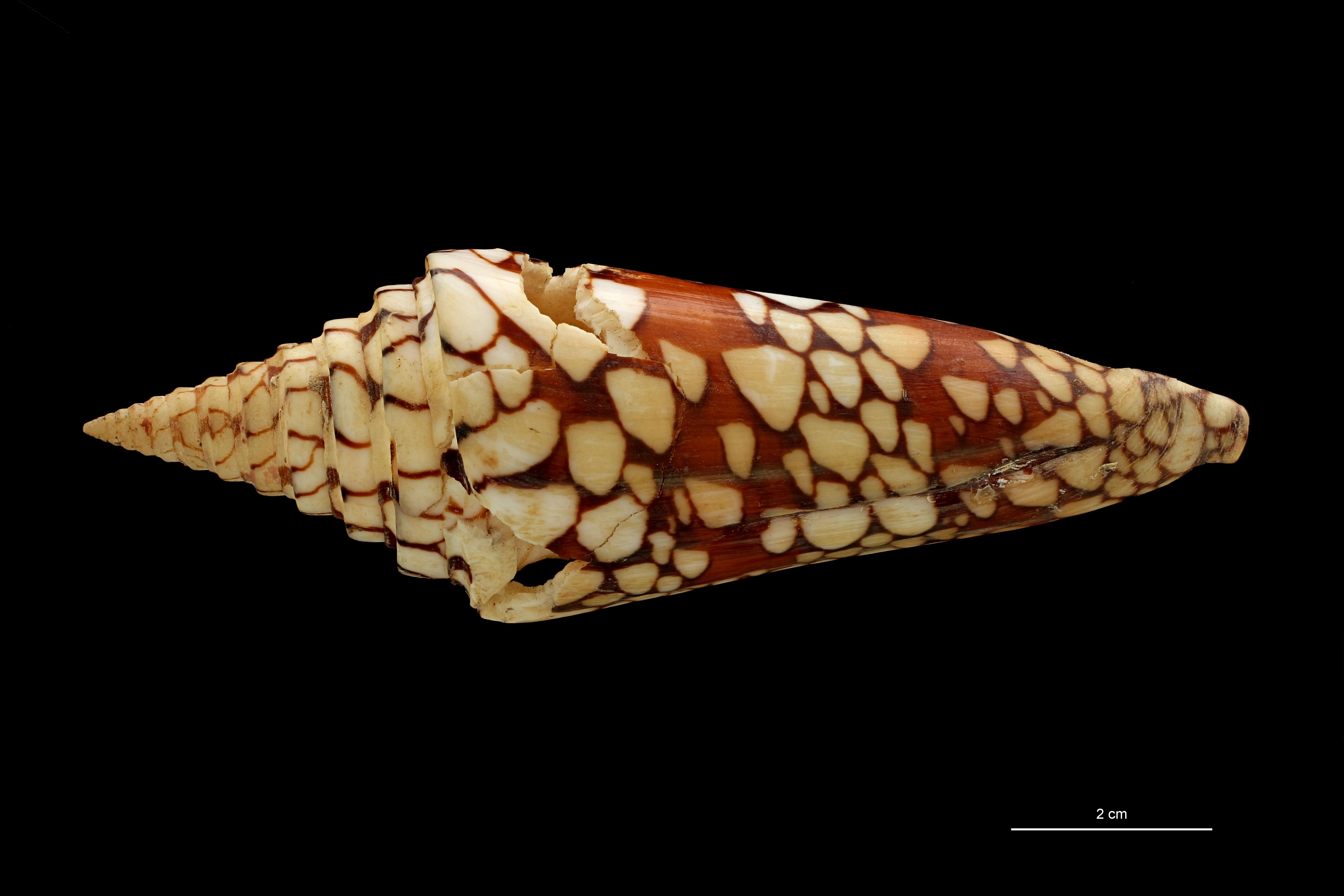 BE-RBINS-INV MT 448/1 Conus lemuriensis Ht D ZS PMax Scaled.jpg