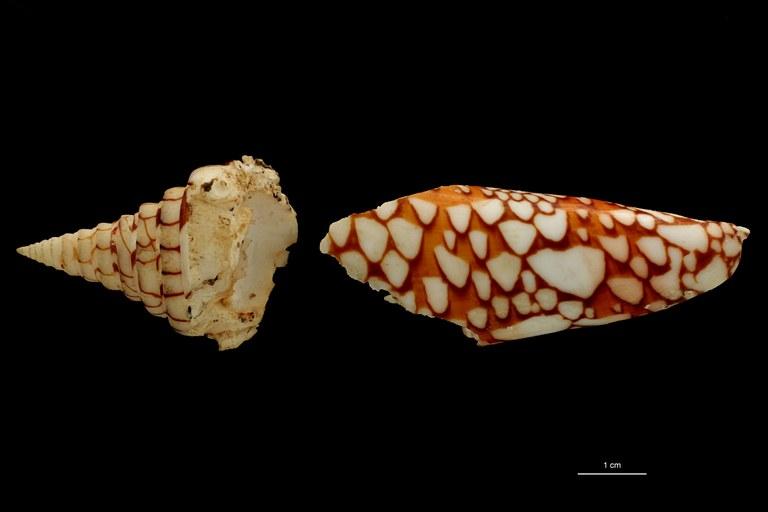 BE-RBINS-INV PARATYPE MT 448/2 Conus lemuriensis DORSAL ZS PMax Scaled.jpg