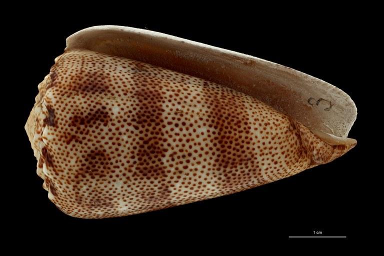 BE-RBINS-INV HOLOTYPE MT 2529 Conus arenatus var. aequipunctata VENTRAL ZS PMax Scaled.jpg