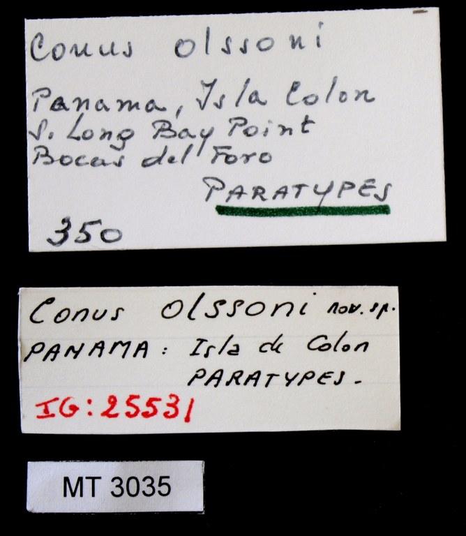 BE-RBINS-INV PARATYPE MT.3035 Conus (Atlanticonus) olssoni LABELS.jpg