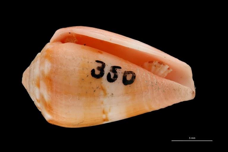 BE-RBINS-INV PARATYPE MT.3035 Conus (Atlanticonus) olssoni VENTRAL ZS PMax Scaled.jpg