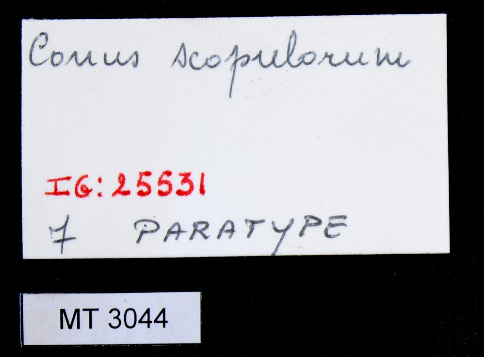 3044 Conus scopulorum Pt Lb.JPG