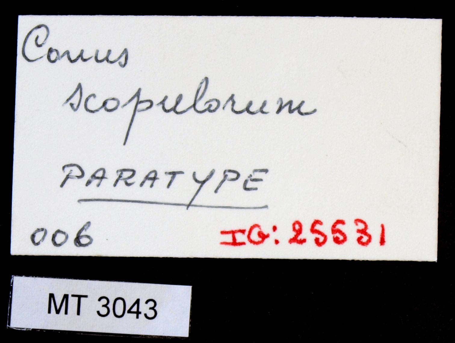 3043 Conus scopulorum Pt Lb.JPG