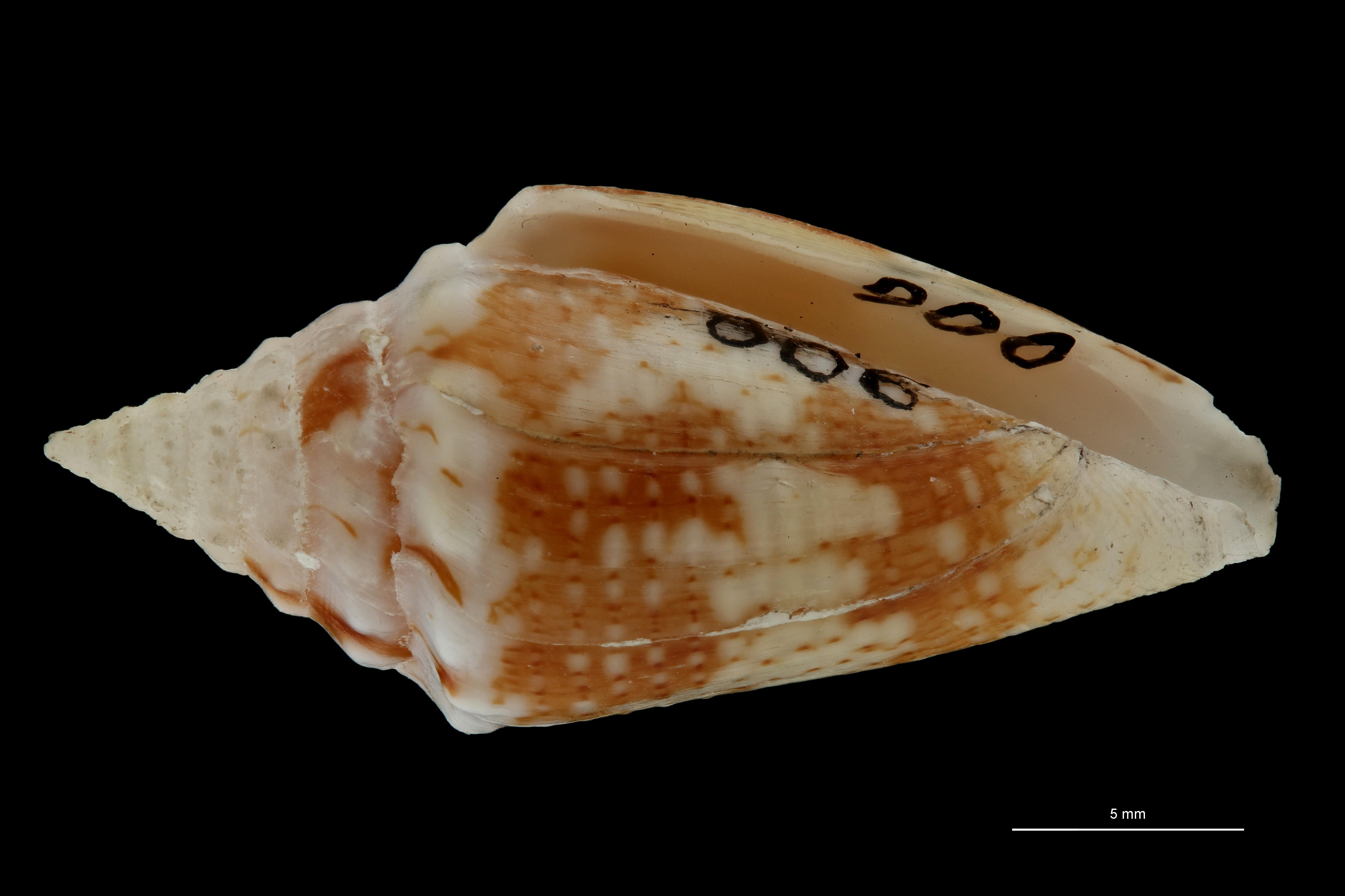 BE-RBINS-INV MT.3043 Conus (Brasiliconus) scopulorum Pt V ZS PMax Scaled.jpg