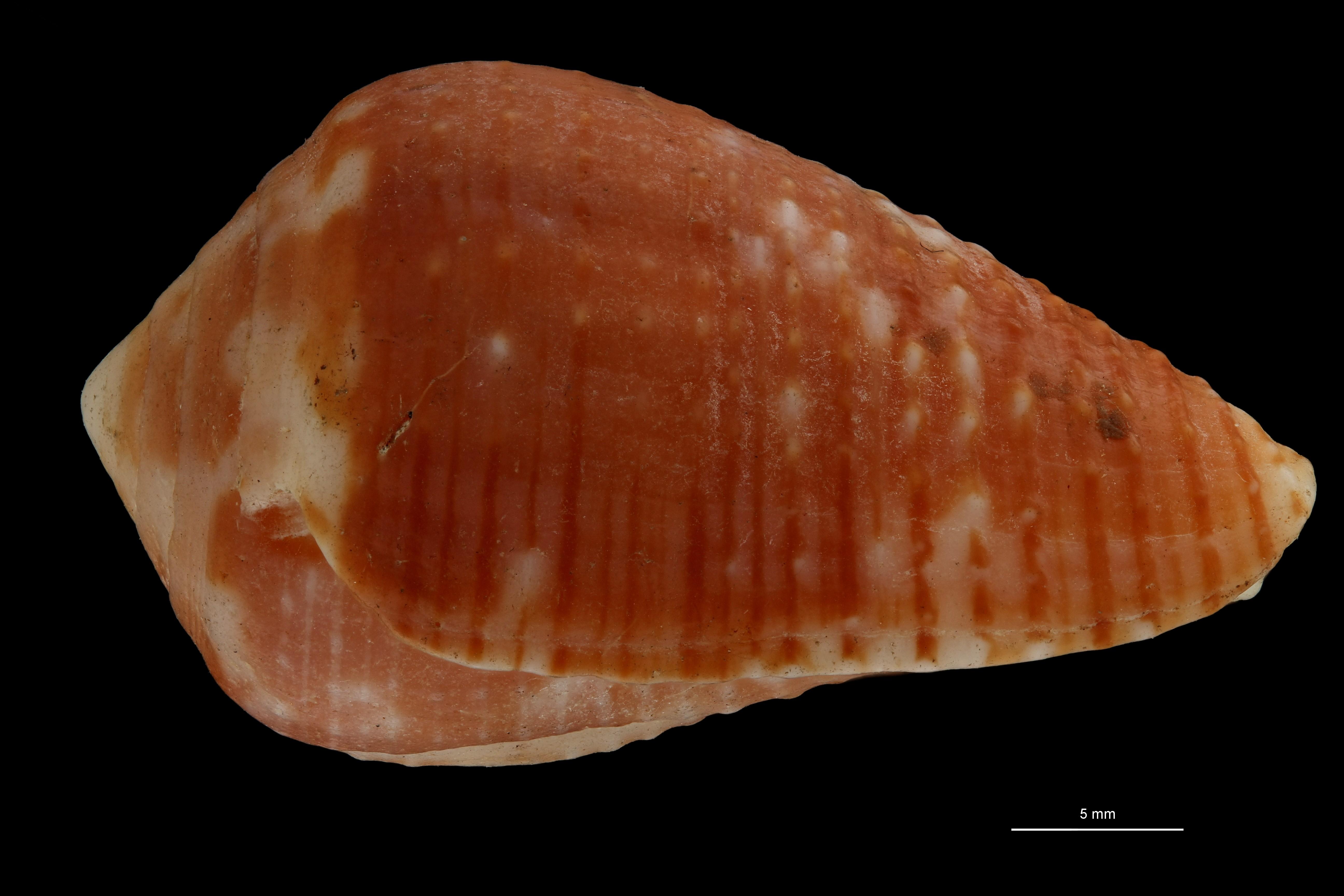 BE-RBINS-INV MT.2530 Conus catus var. rubrapapillosa Ht L ZS PMax Scaled.jpg