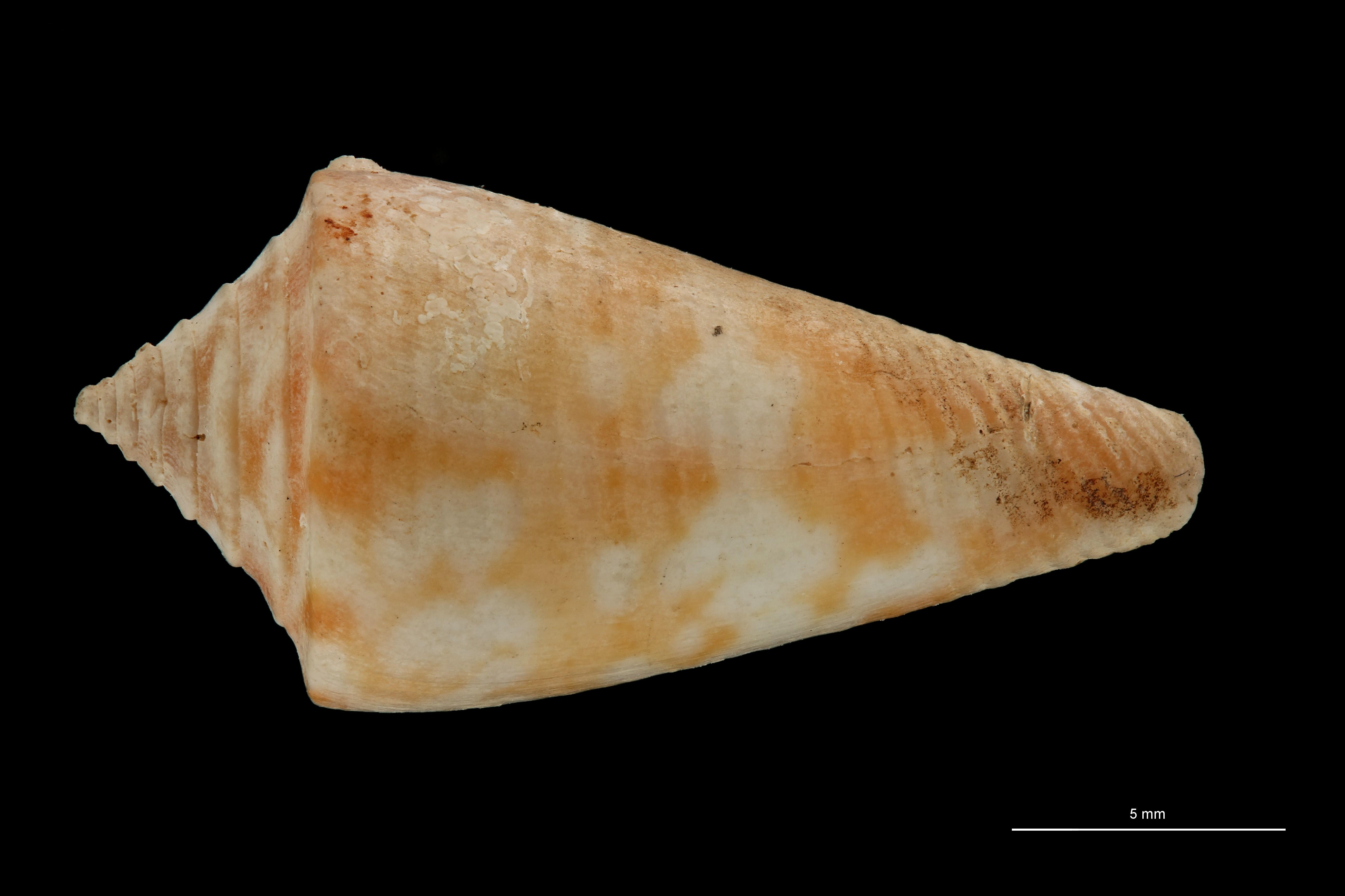 BE-RBINS-INV PARATYPE MT 3028 Conus (Chelyconus) altenai DORSAL ZS PMax Scaled.jpg