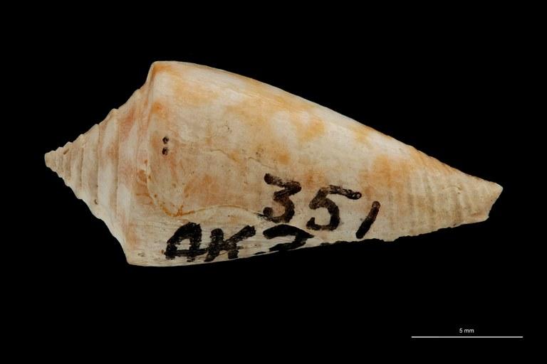 BE-RBINS-INV PARATYPE MT 3028 Conus (Chelyconus) altenai LATERAL ZS PMax Scaled.jpg