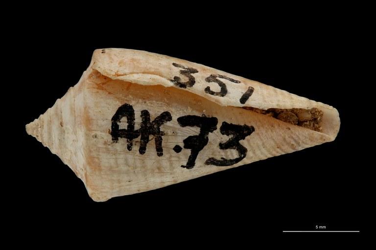 BE-RBINS-INV PARATYPE MT 3028 Conus (Chelyconus) altenai VENTRAL ZS PMax Scaled.jpg