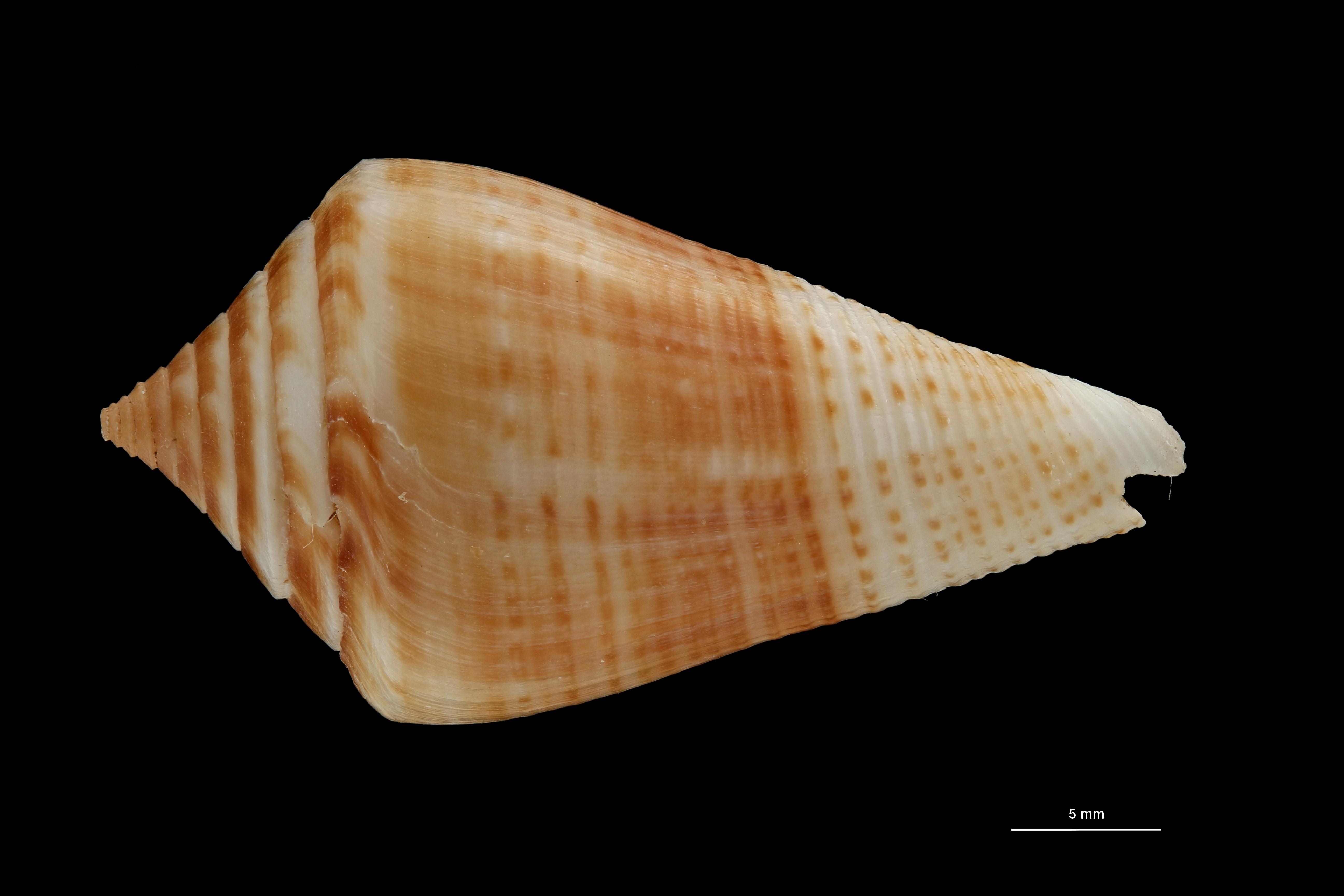BE-RBINS-INV PARATYPE MT 3050 Conus (Dauciconus) bayeri DORSAL ZS PMax Scaled.jpg