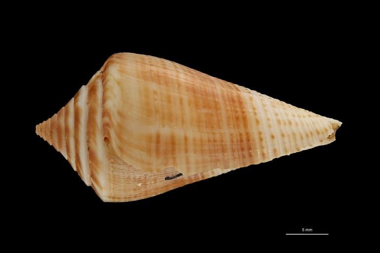 BE-RBINS-INV PARATYPE MT 3050 Conus (Dauciconus) bayeri LATERAL ZS PMax Scaled.jpg