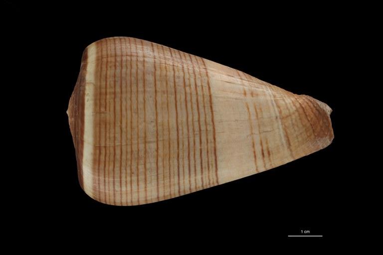 BE-RBINS-INV HOLOTYPE MT.2532 Conus figulinus var. insignis DORSAL ZS PMax Scaled.jpg