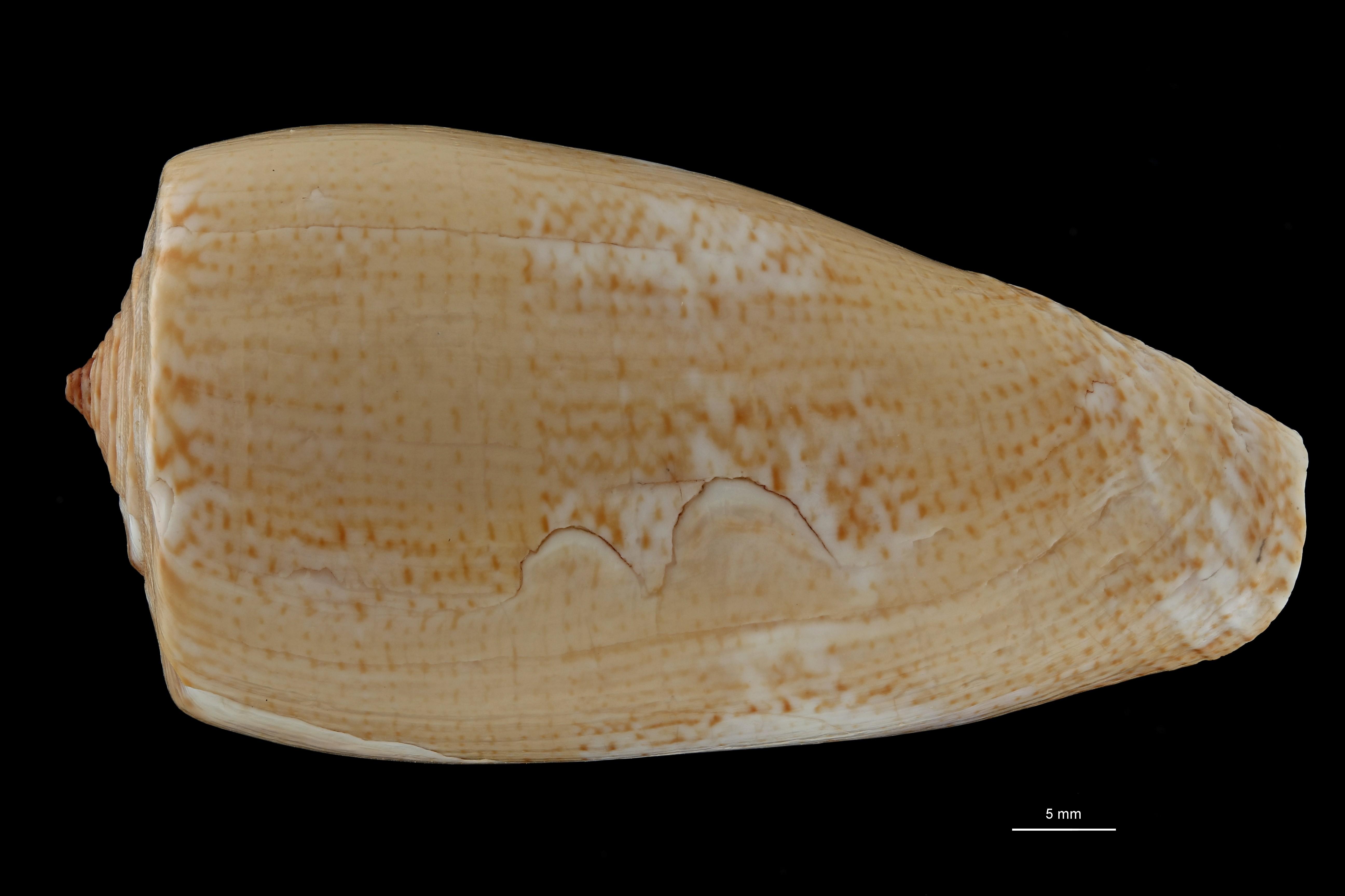 BE-RBINS-INV MT 390 Conus (Gastridium) cuvieri Ht D ZS PMax Scaled.jpg