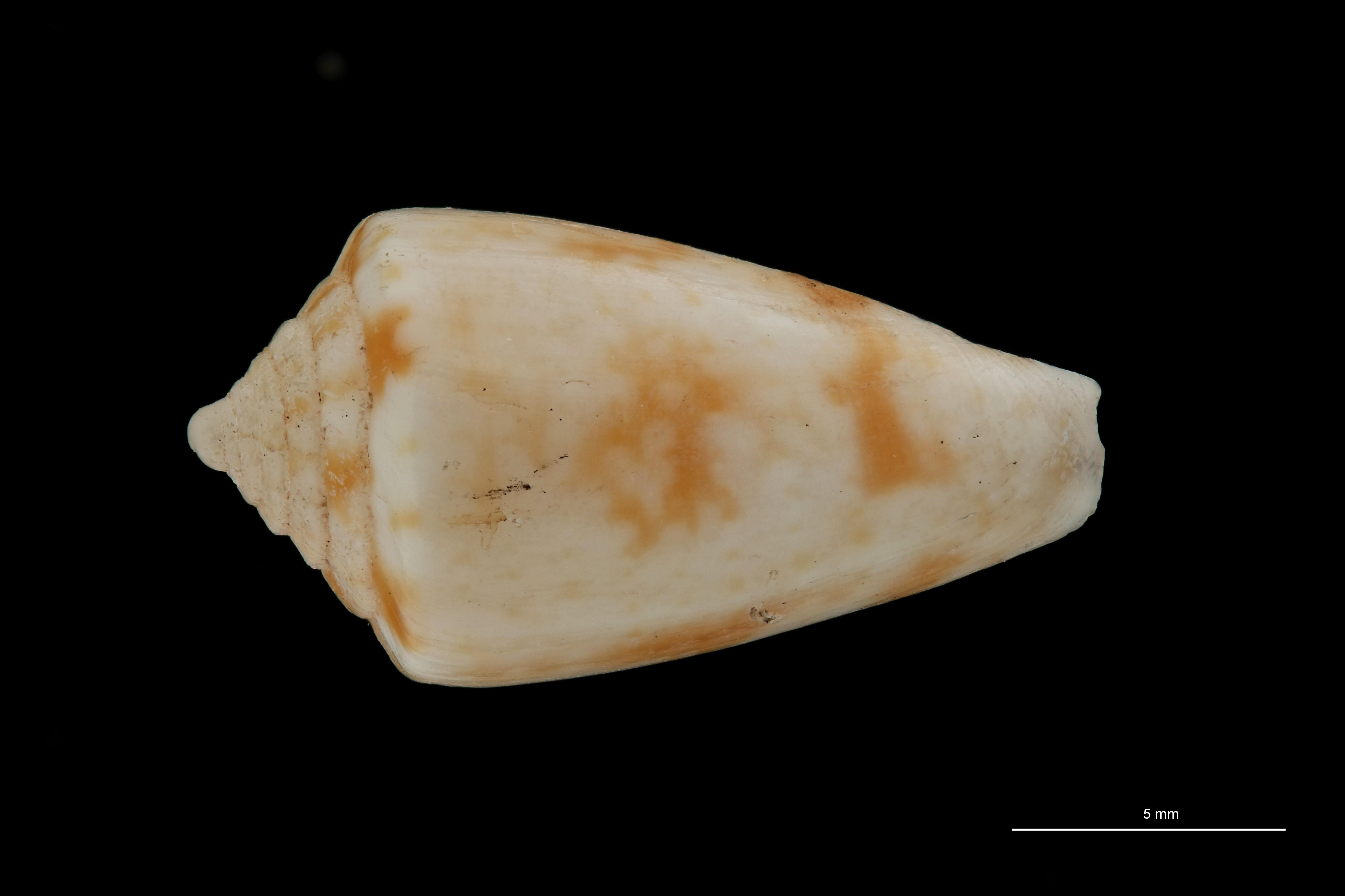 BE-RBINS-INV PARATYPE MT.3031 Conus gerdae DORSAL ZS PMax Scaled.jpg