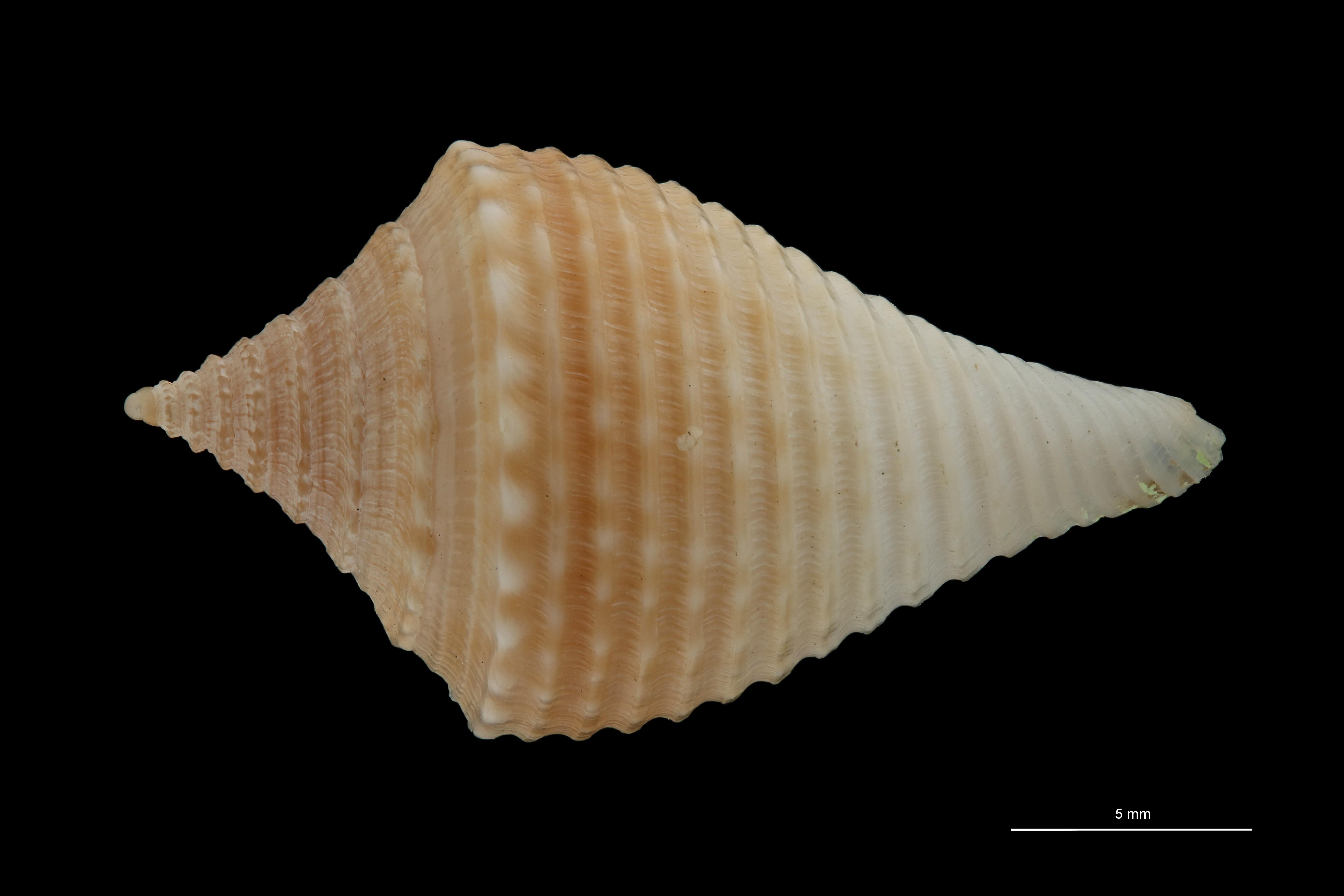 BE-RBINS-INV MT.3033 Conus guyanensis Pt D ZS PMax Scaled.jpg