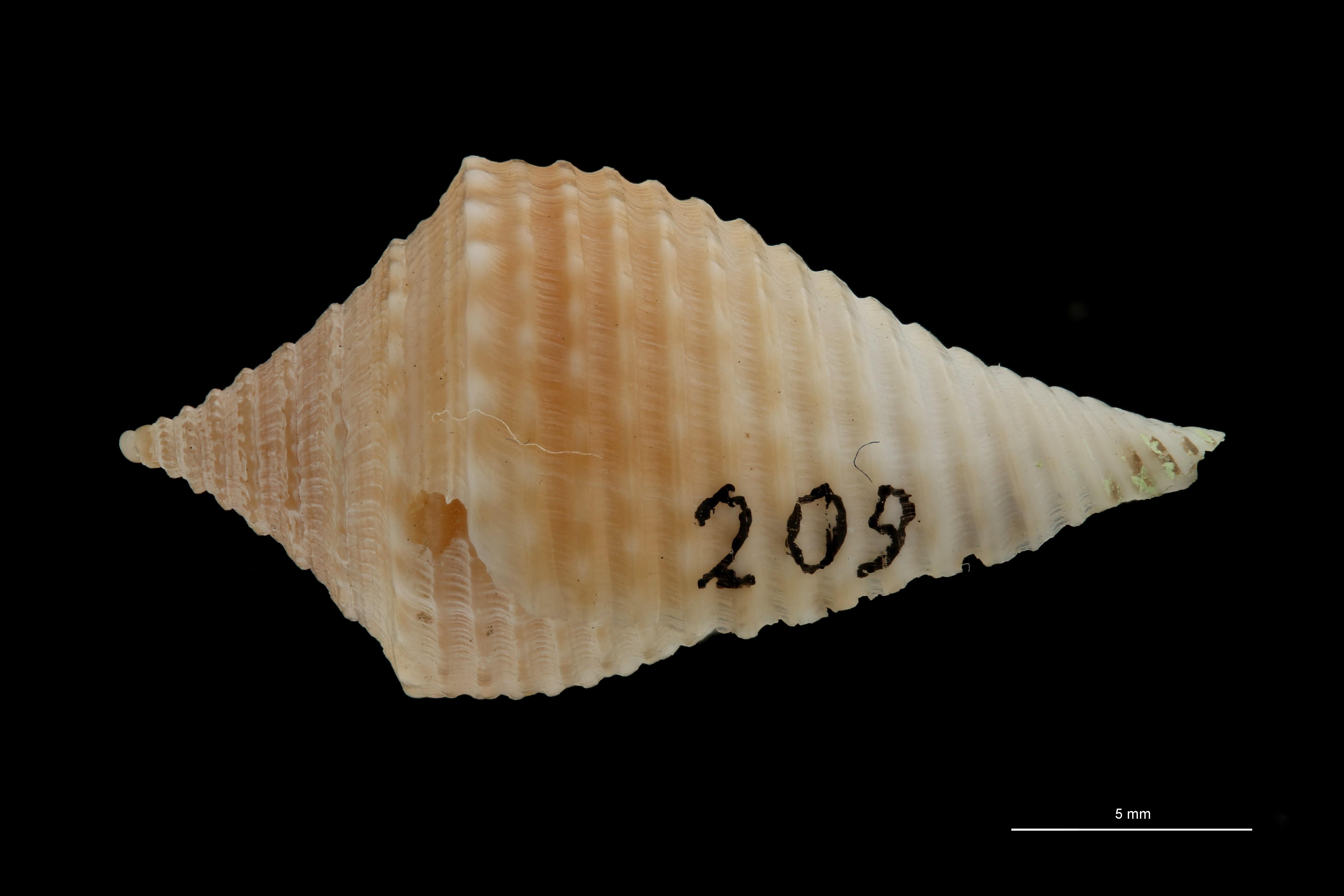 BE-RBINS-INV MT.3033 Conus guyanensis Pt L ZS PMax Scaled.jpg