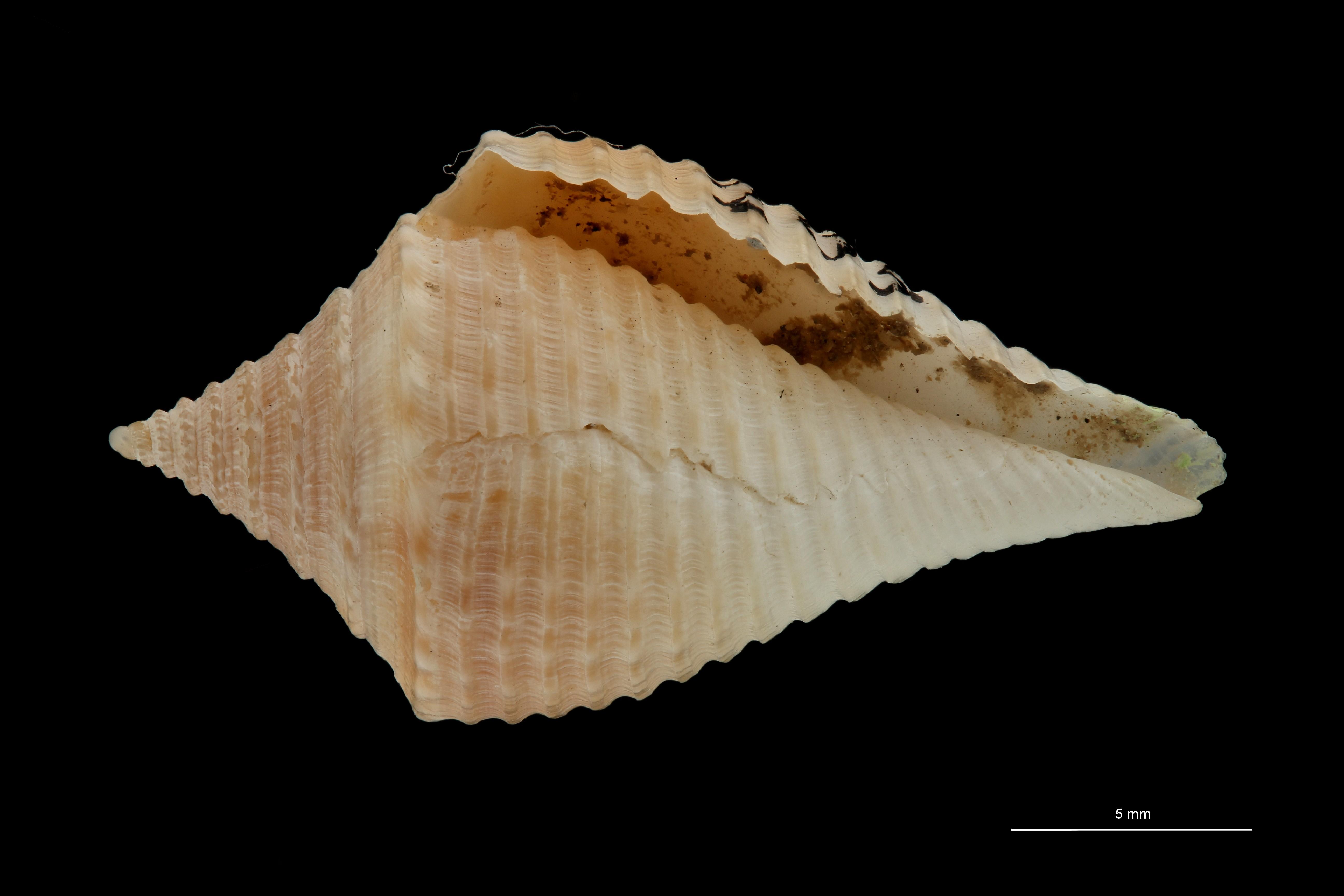 BE-RBINS-INV MT.3033 Conus guyanensis Pt V ZS PMax Scaled.jpg
