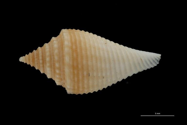 BE-RBINS-INV PARATYPE MT.3034 Conus guyanensis DORSAL ZS PMax Scaled.jpg