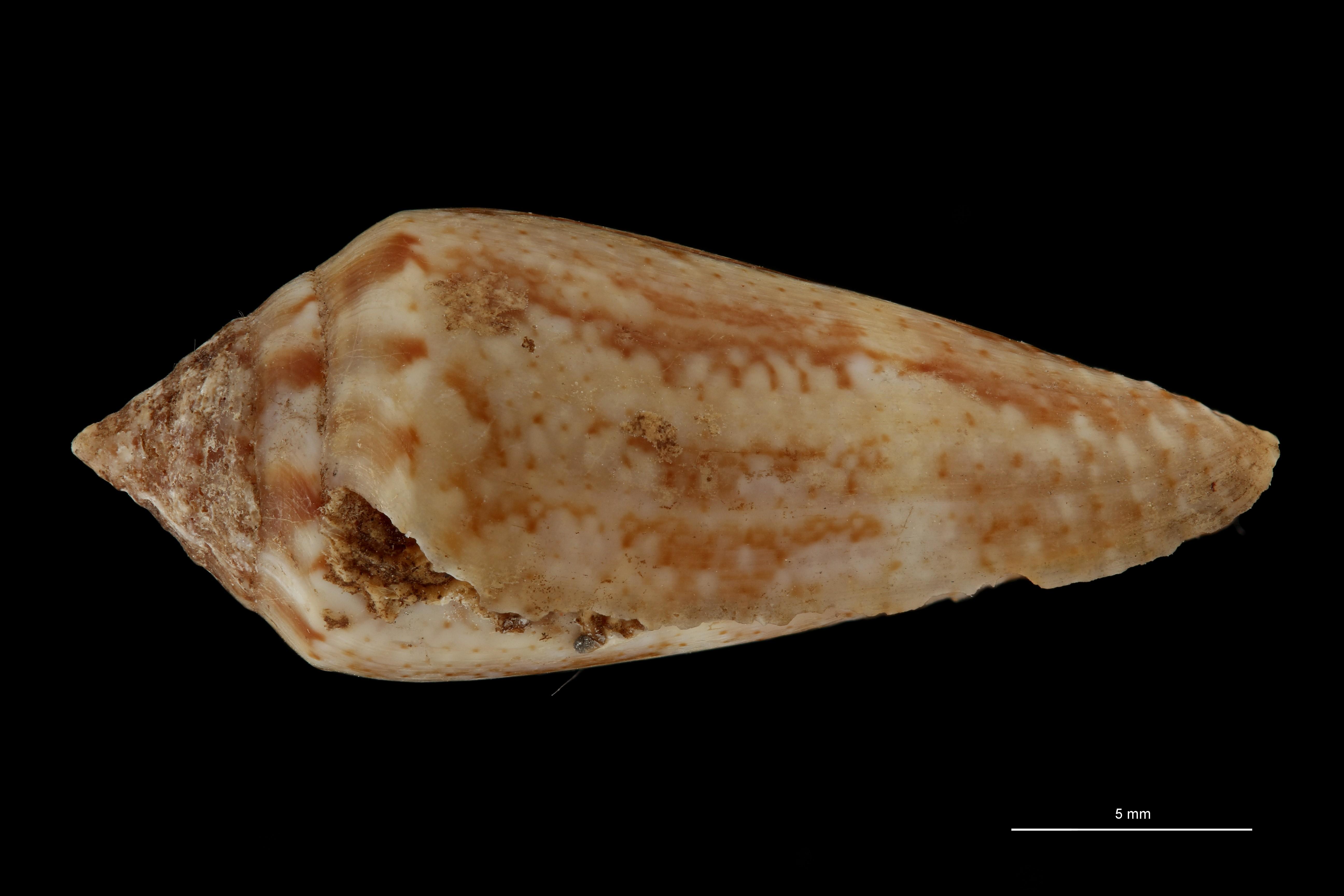 BE-RBINS-INV LECTOTYPE MT 401 Conus mediterraneus elongata LATERAL ZS PMax Scaled.jpg