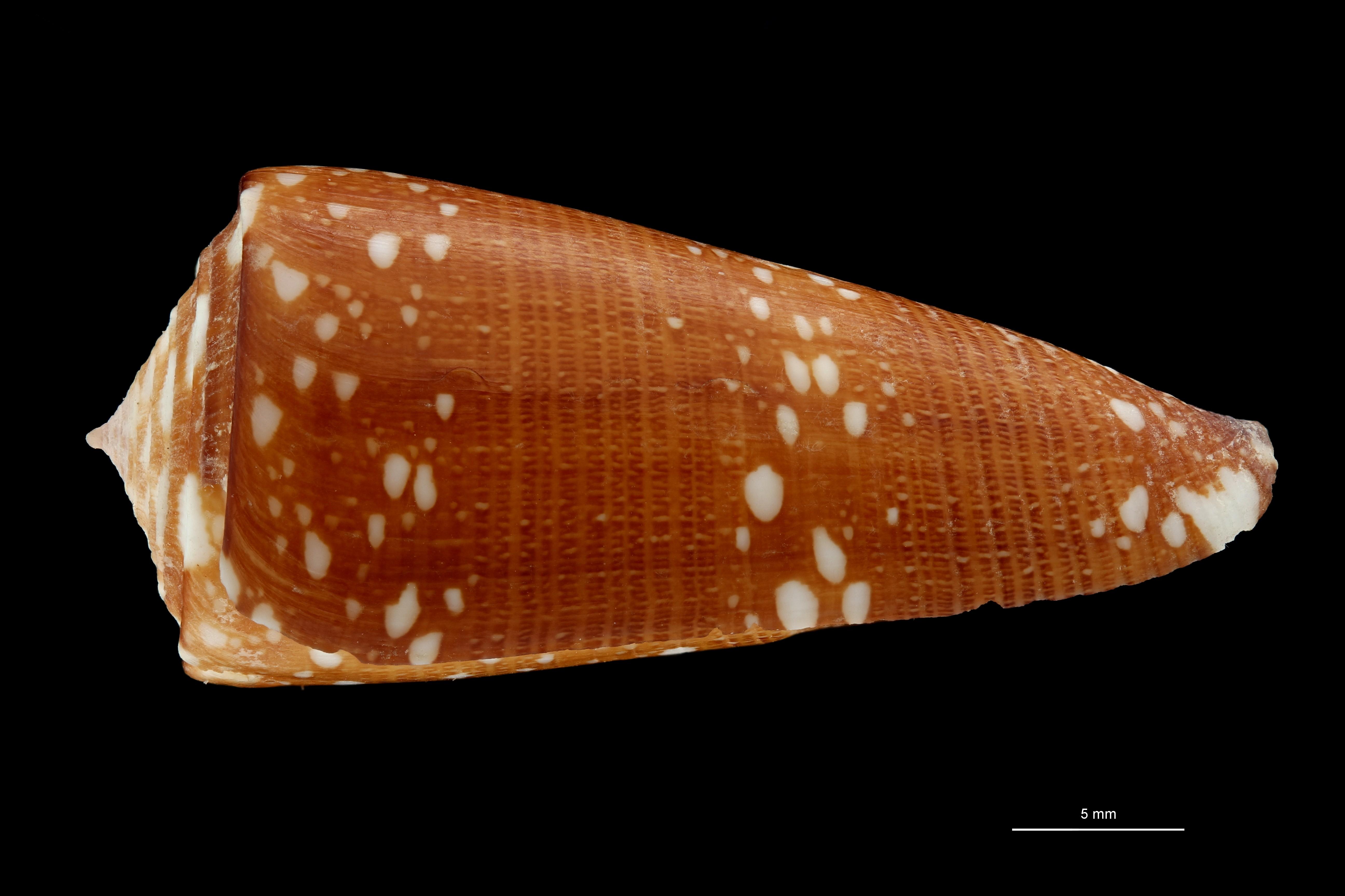 BE-RBINS-INV MT.2599 Conus nobilis abbai Ht L ZS PMax Scaled.jpg