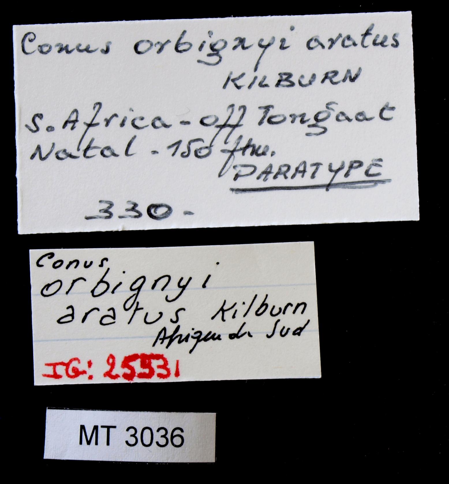BE-RBINS-INV MT.3036 Conus orbignyi aratus Pt Lb.JPG
