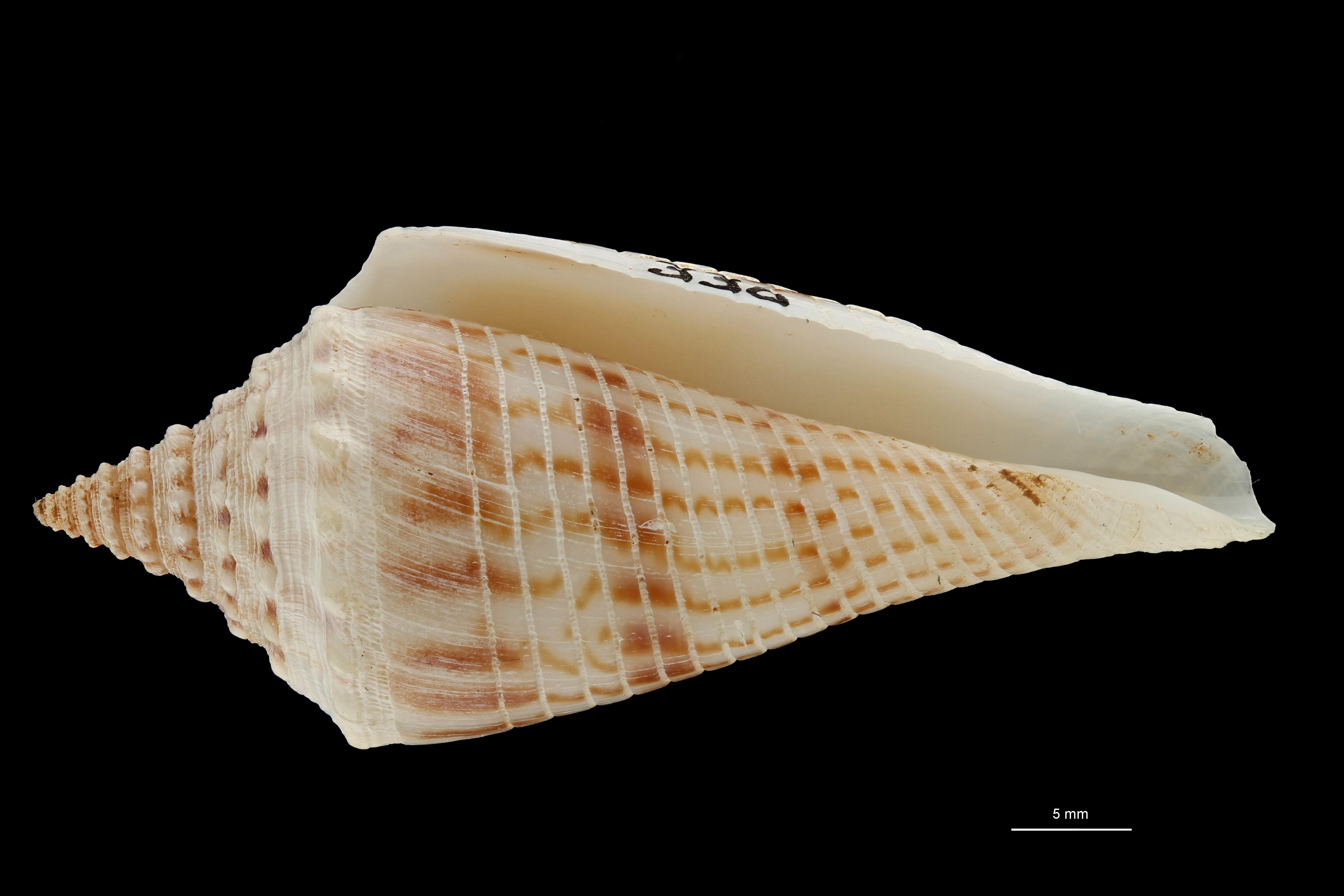 BE-RBINS-INV MT.3036 Conus orbignyi aratus Pt V ZS PMax Scaled.jpg