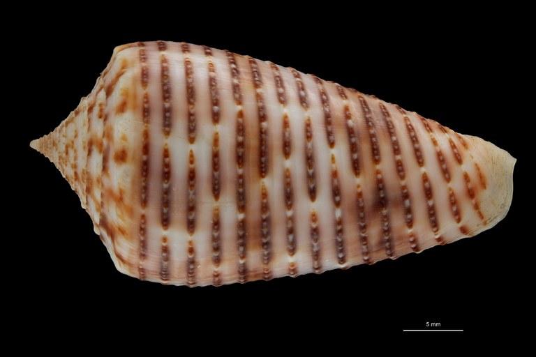 BE-RBINS-INV HOLOTYPE MT 464 Conus (Phasmoconus) proximus cebuensis Dorsal ZS PMax Scaled.jpg