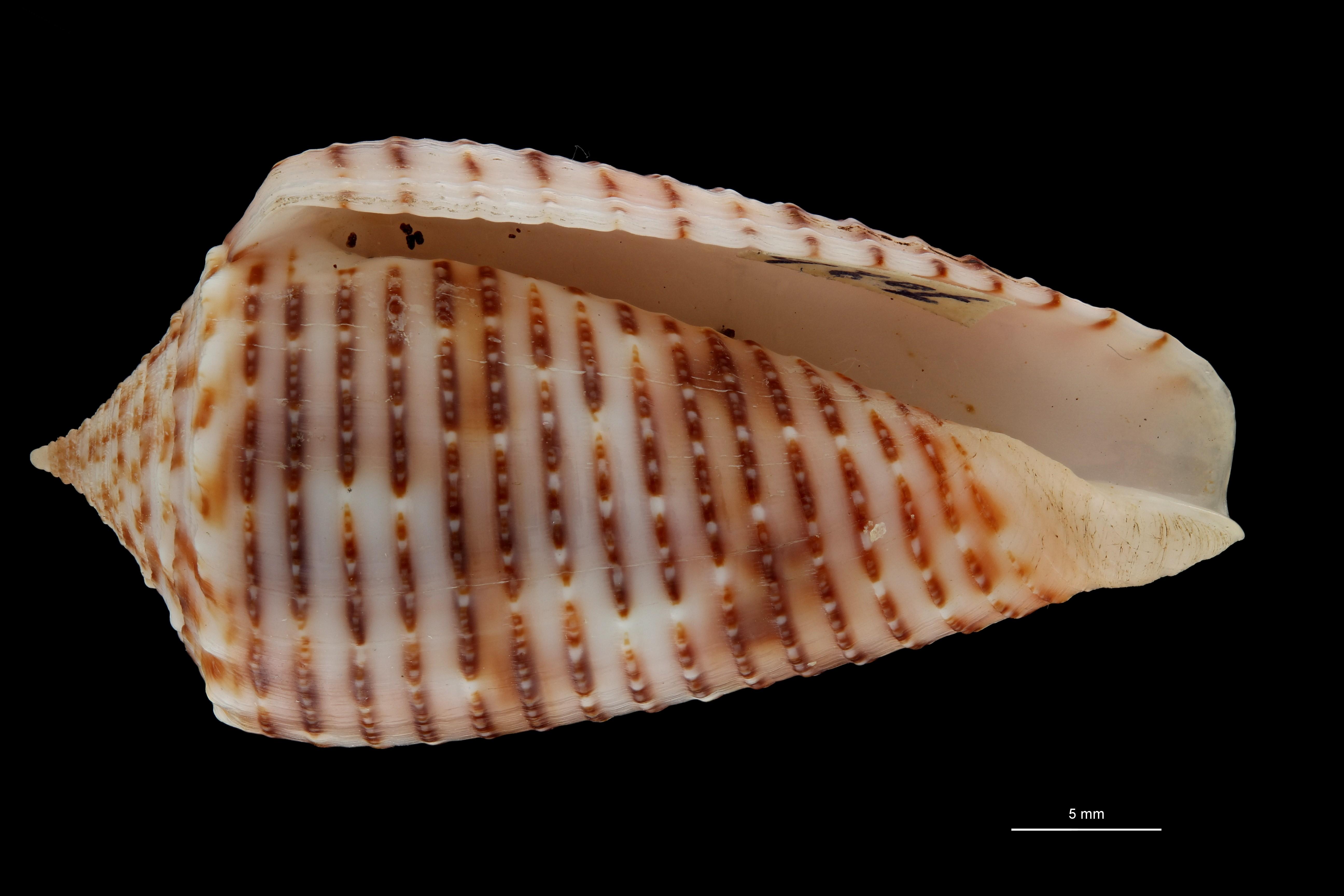 BE-RBINS-INV HOLOTYPE MT 464 Conus (Phasmoconus) proximus cebuensis VENTRAL ZS PMax Scaled.jpg