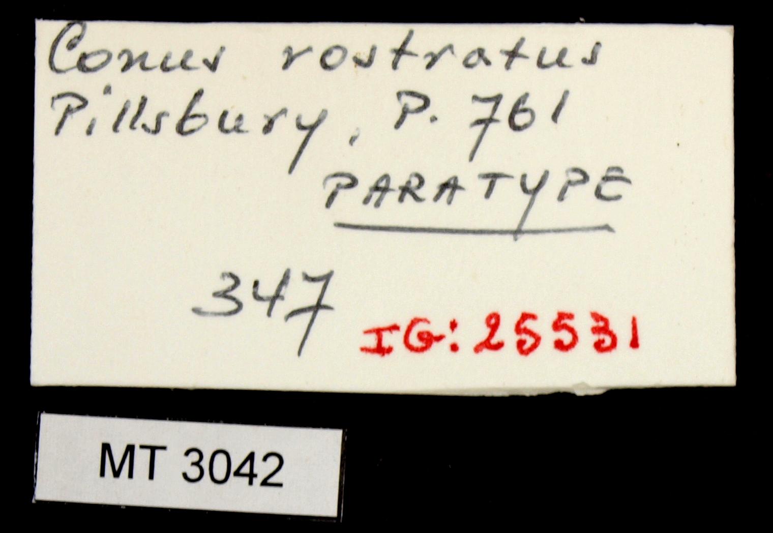 BE-RBINS-INV MT.3042 Conus rostratus Pt Lb.JPG