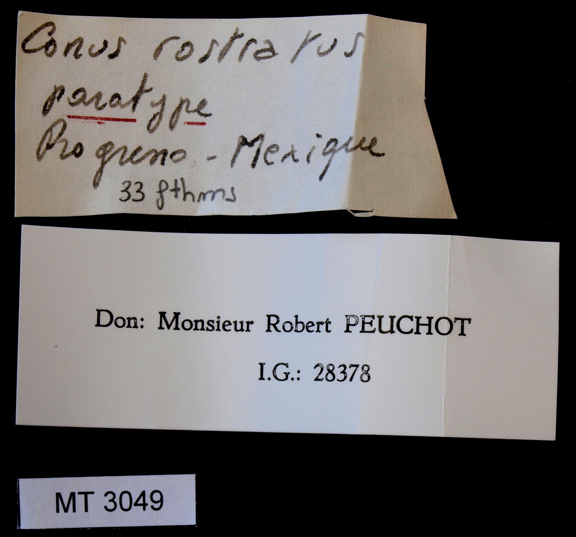 3049 Conus rostratus Pt Lb.JPG