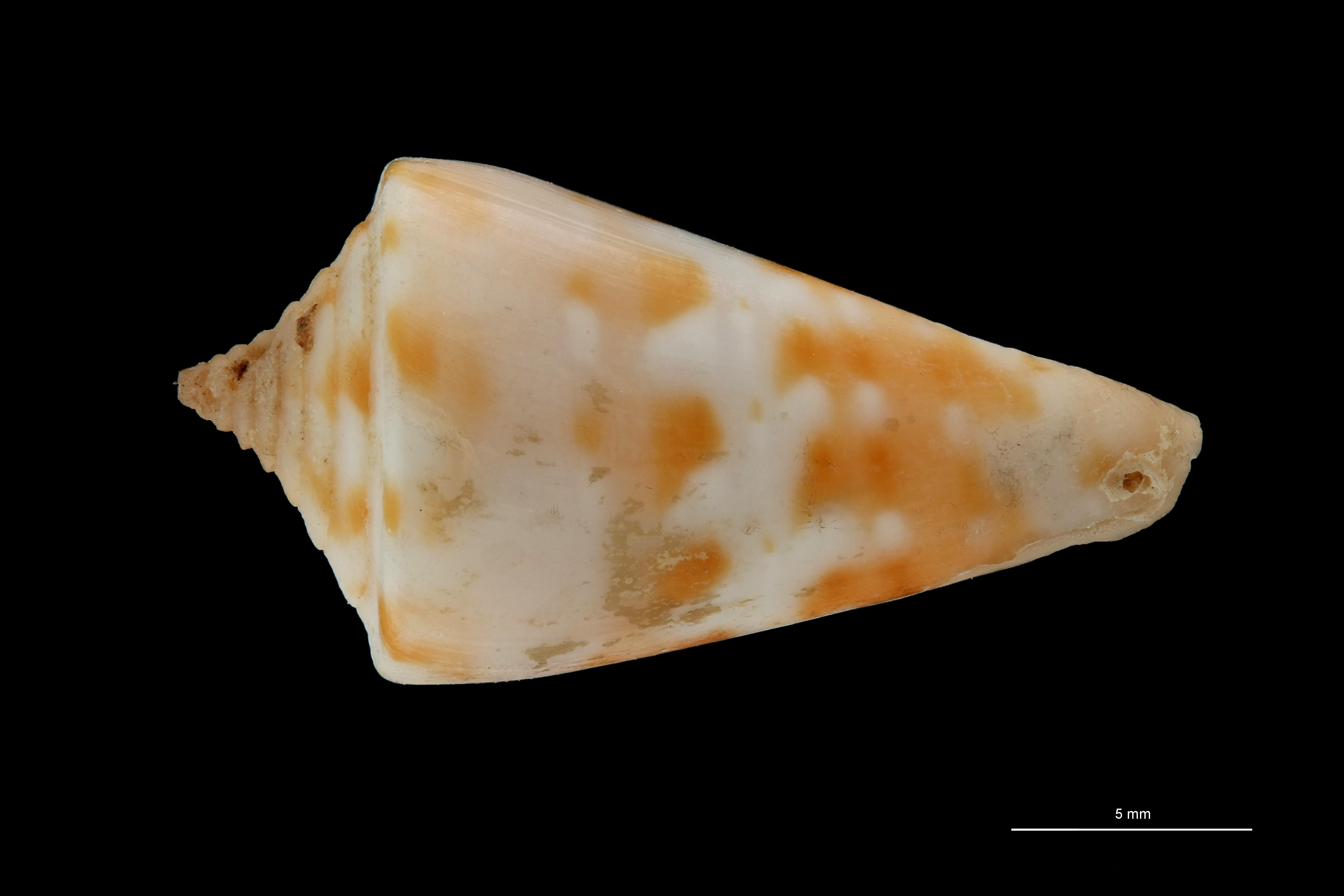 BE-RBINS-INV PARATYPE MT 380 Conus (Sandericonus) sanderi DORSAL ZS PMax Scaled.jpg