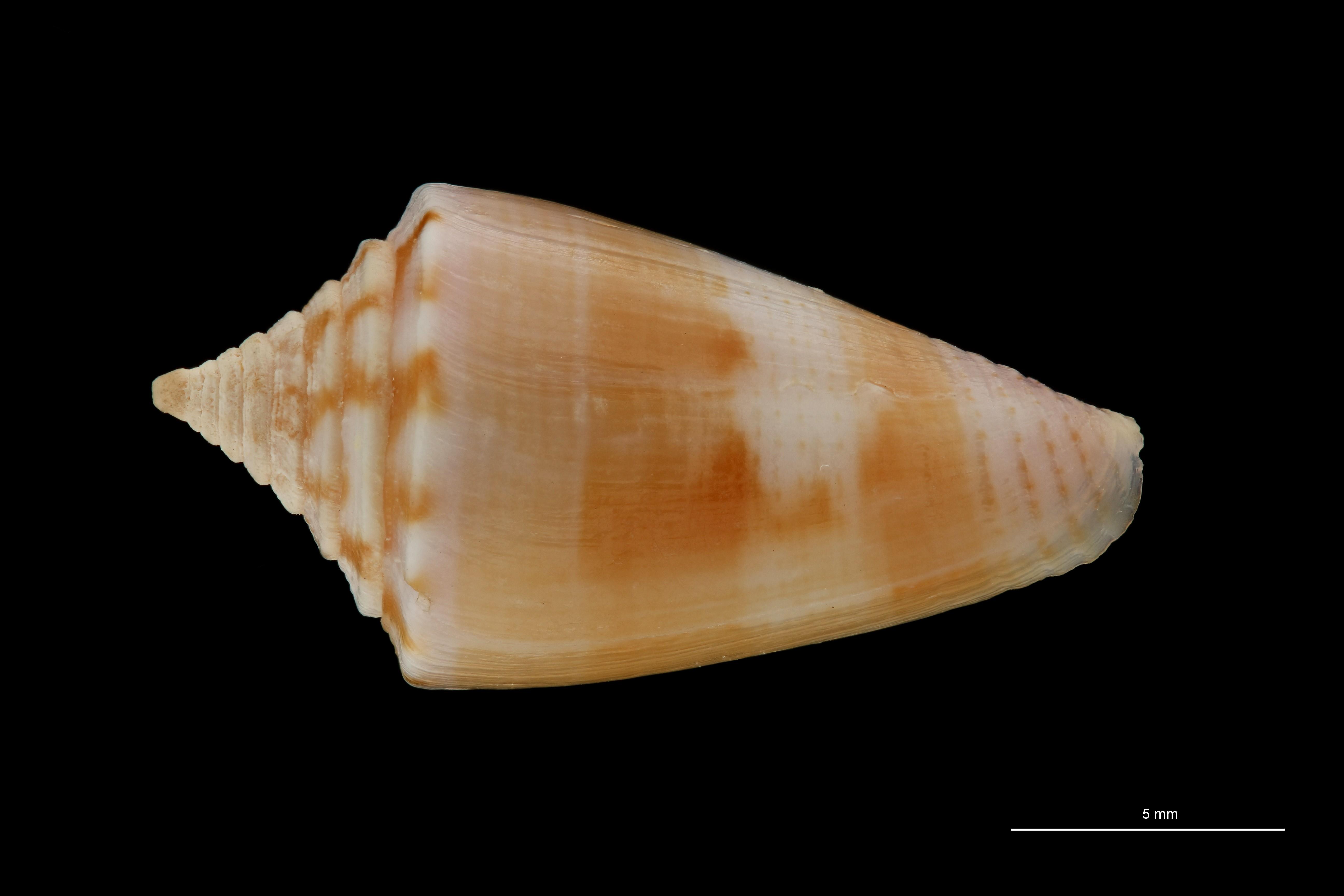 BE-RBINS-INV MT.3264 Conus subroseus Pt D ZS PMax Scaled.jpg