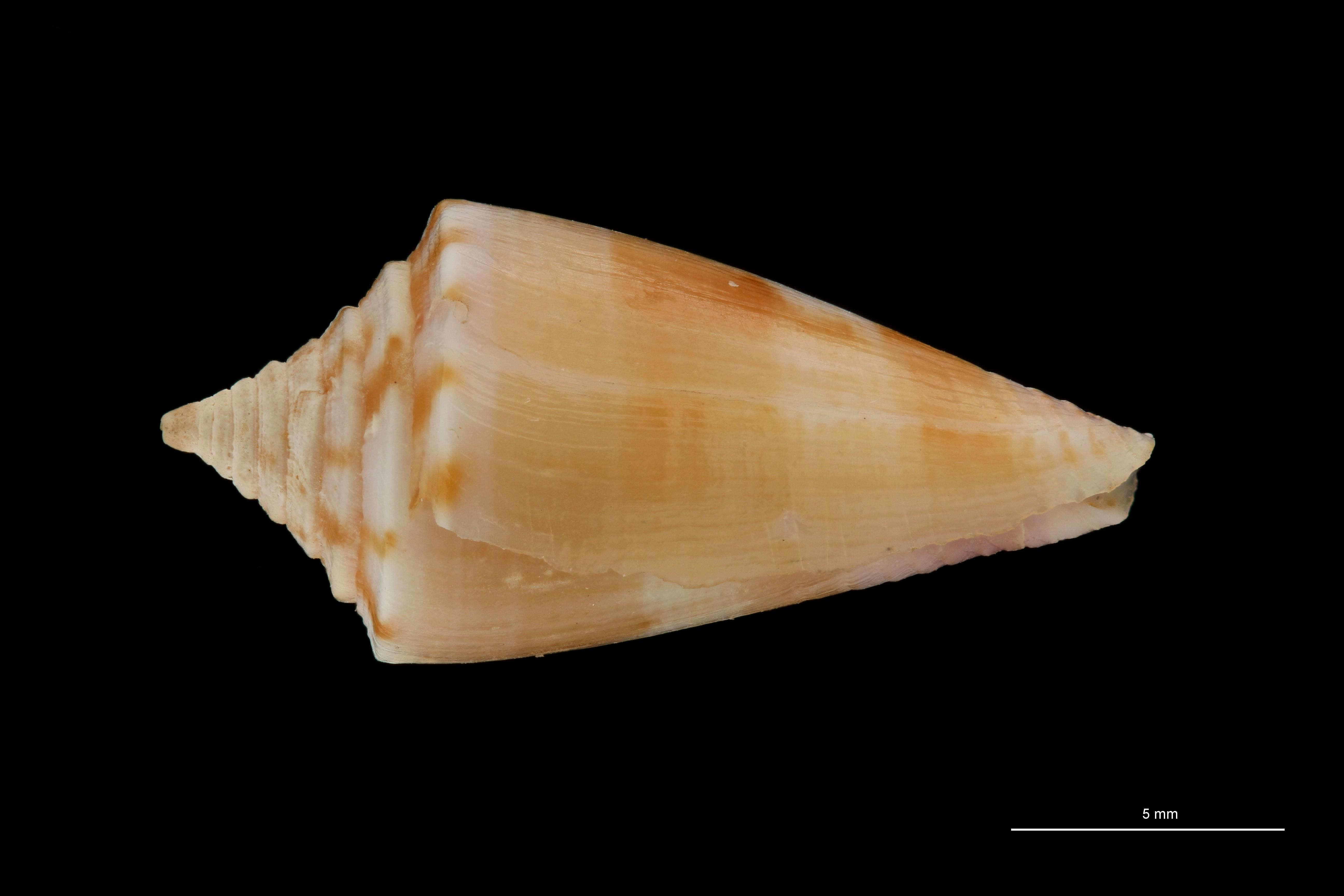 BE-RBINS-INV MT.3264 Conus subroseus Pt L ZS PMax Scaled.jpg