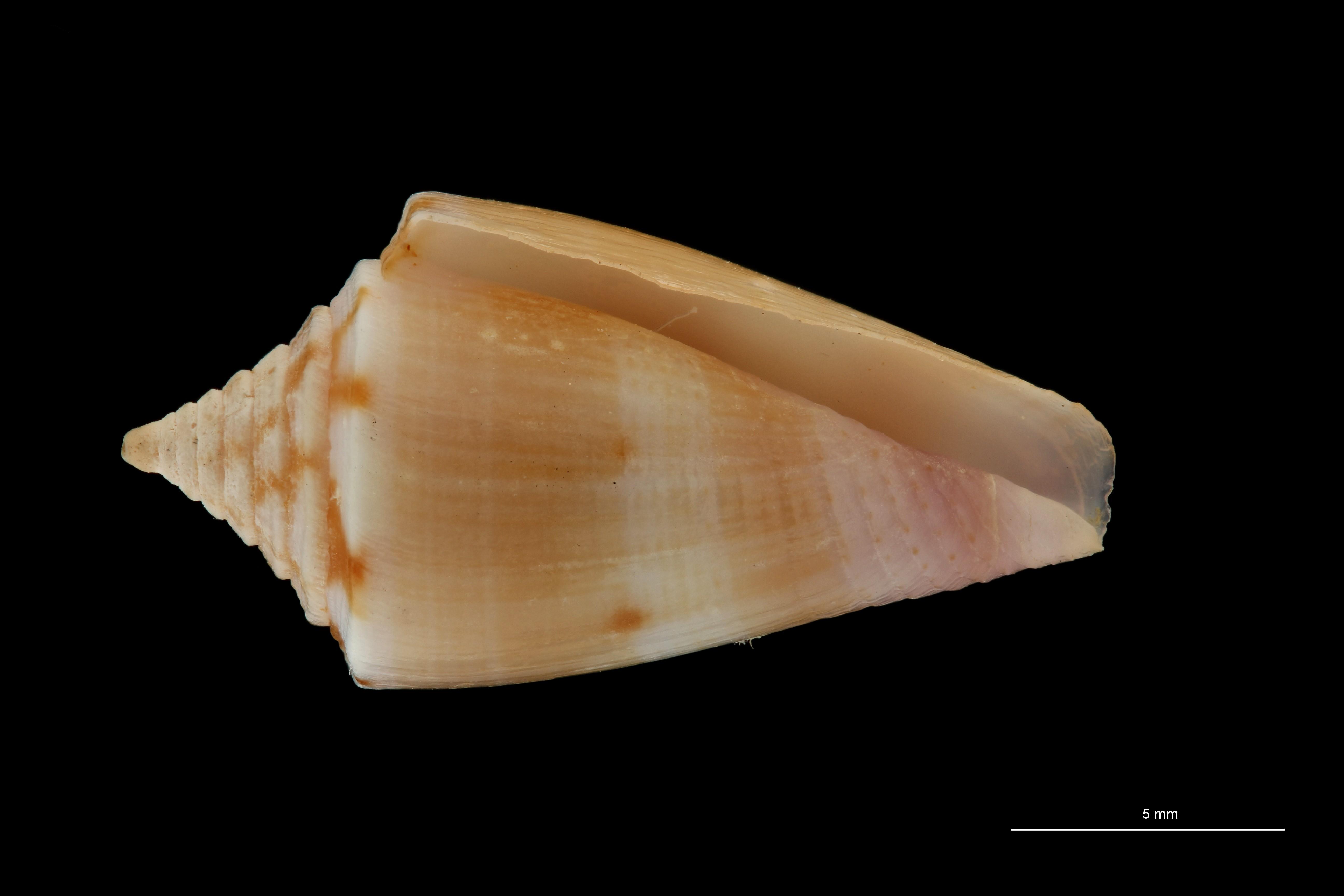 BE-RBINS-INV MT.3264 Conus subroseus Pt V ZS PMax Scaled.jpg