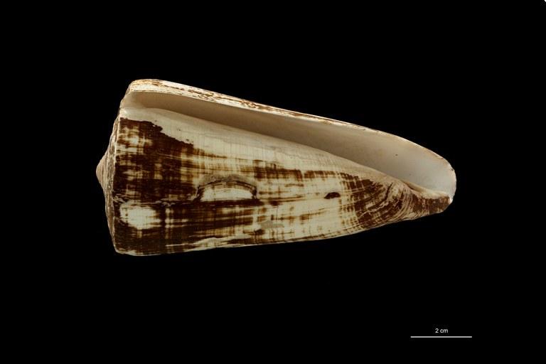 BE-RBINS-INV TYPE MT 628 Conus (Virgiconus) coelinae VENTRAL ZS PMax Scaled.jpg