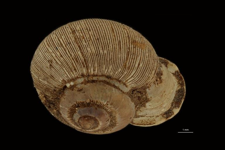 BE-RBINS-INV PARATYPE MT 1002 Alycaeus (Alycaeus) magnus DORSAL.jpg
