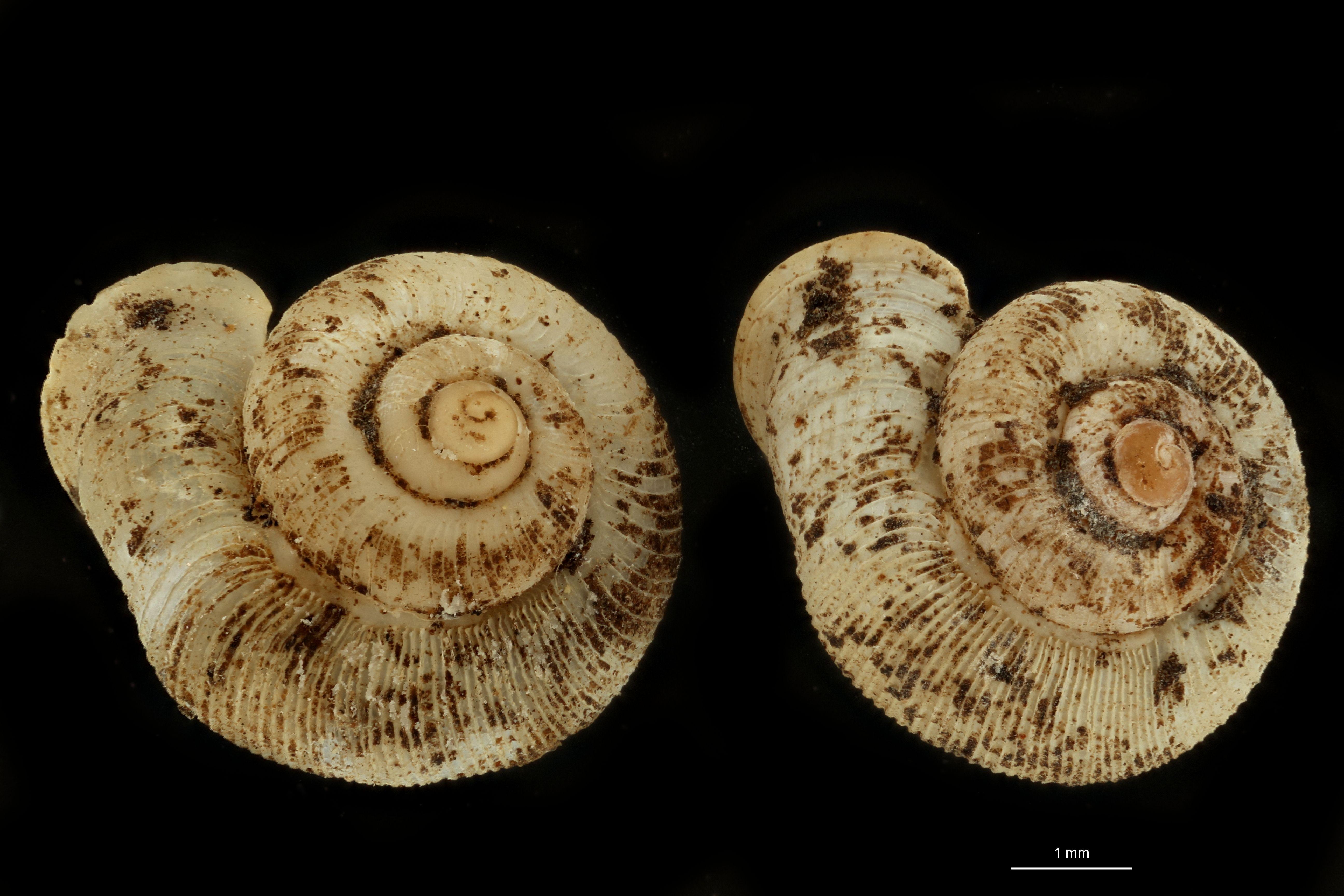 Alycaeus fruhstorferi pt GROUPE.jpg