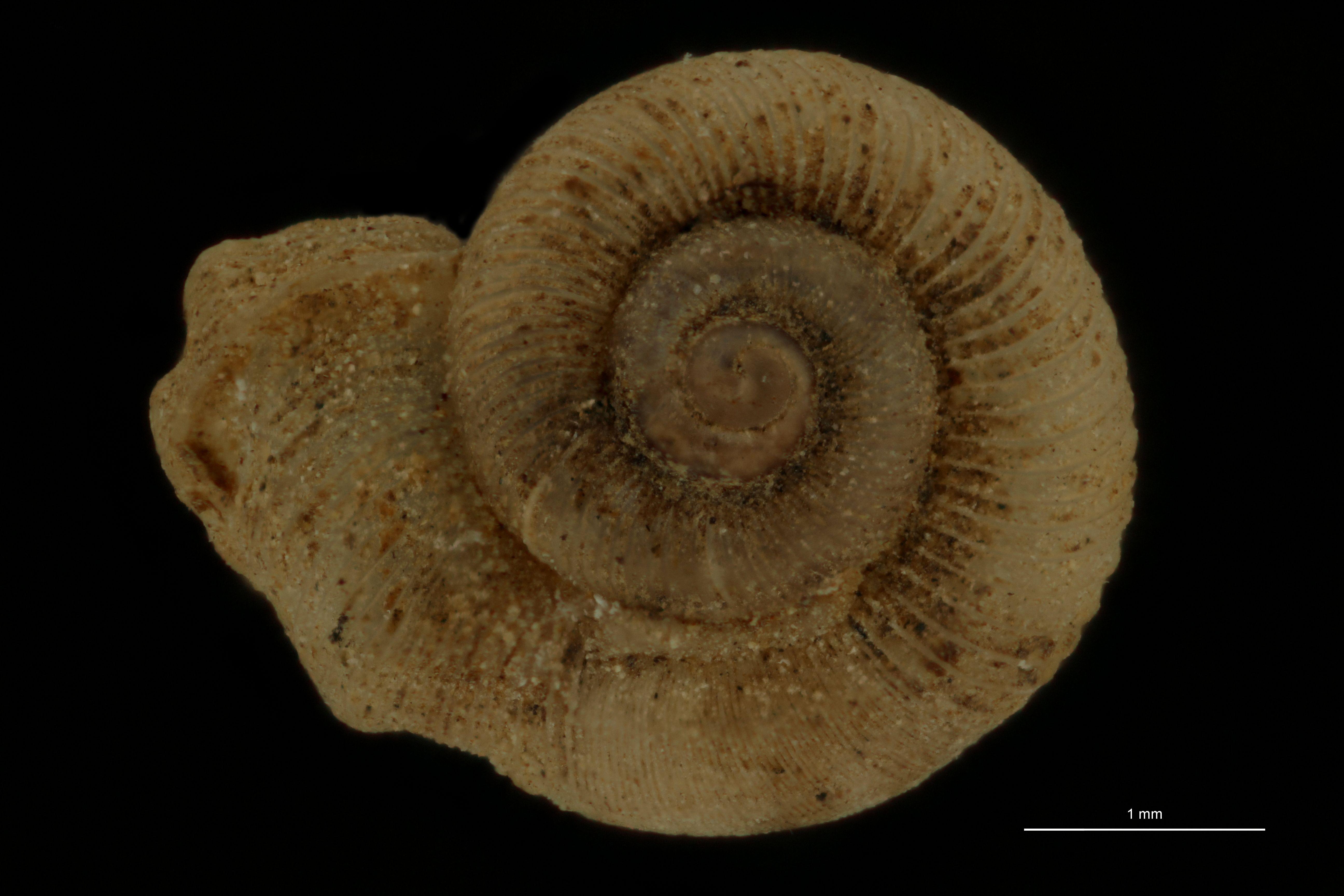 BE-RBINS-INV MT 990 Alycaeus (Charax) fimbriatus pt D.jpg
