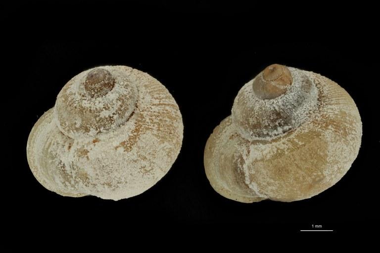 BE-RBINS-INV PARATYPE MT 1013 Alycaeus (Dioryx) vanbuensis GROUPE.jpg