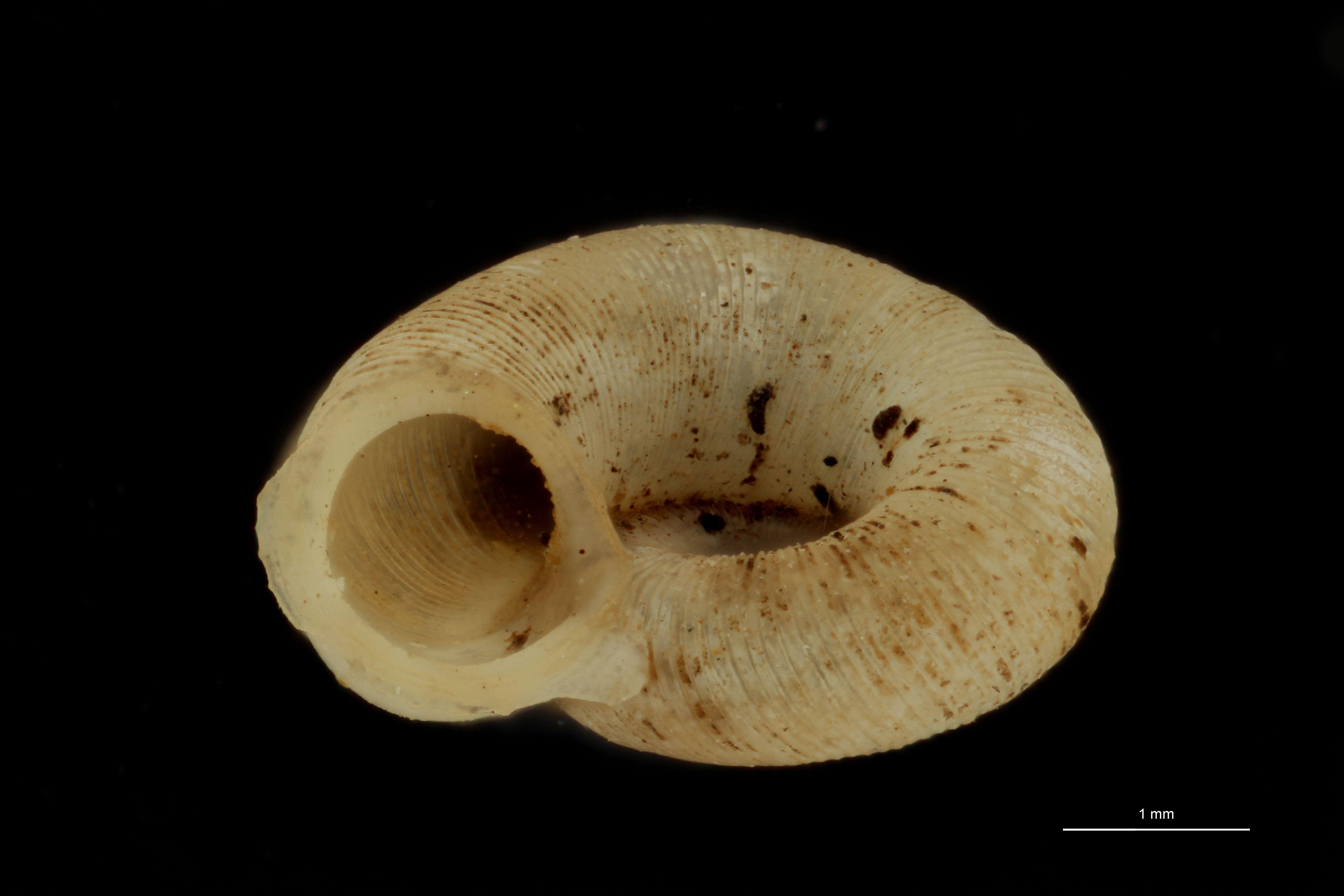BE-RBINS-INV PARATYPE MT 999 Alycaeus kurodai FRONTAL.jpg