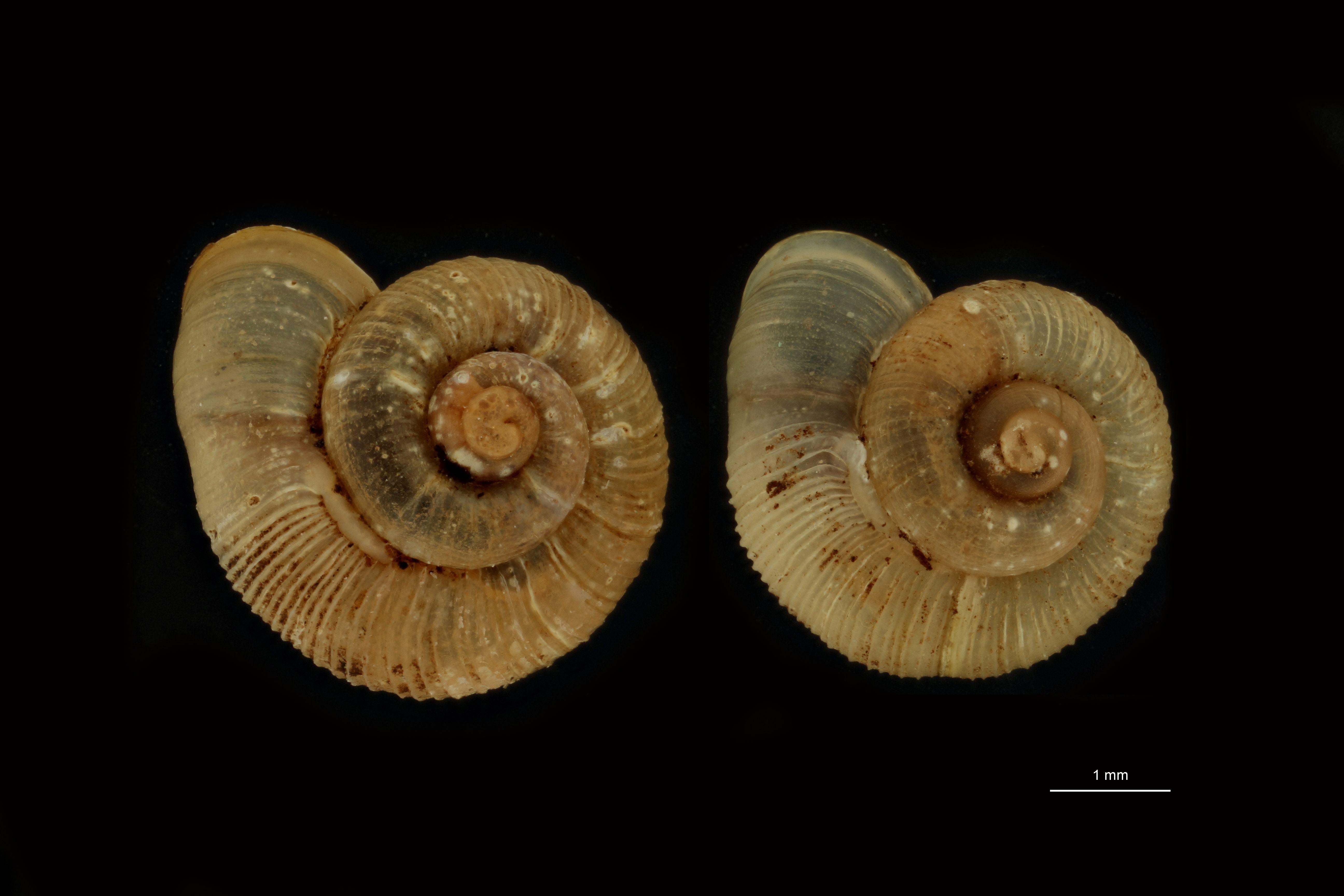 Alycaeus laevicervix pt GROUPE.jpg