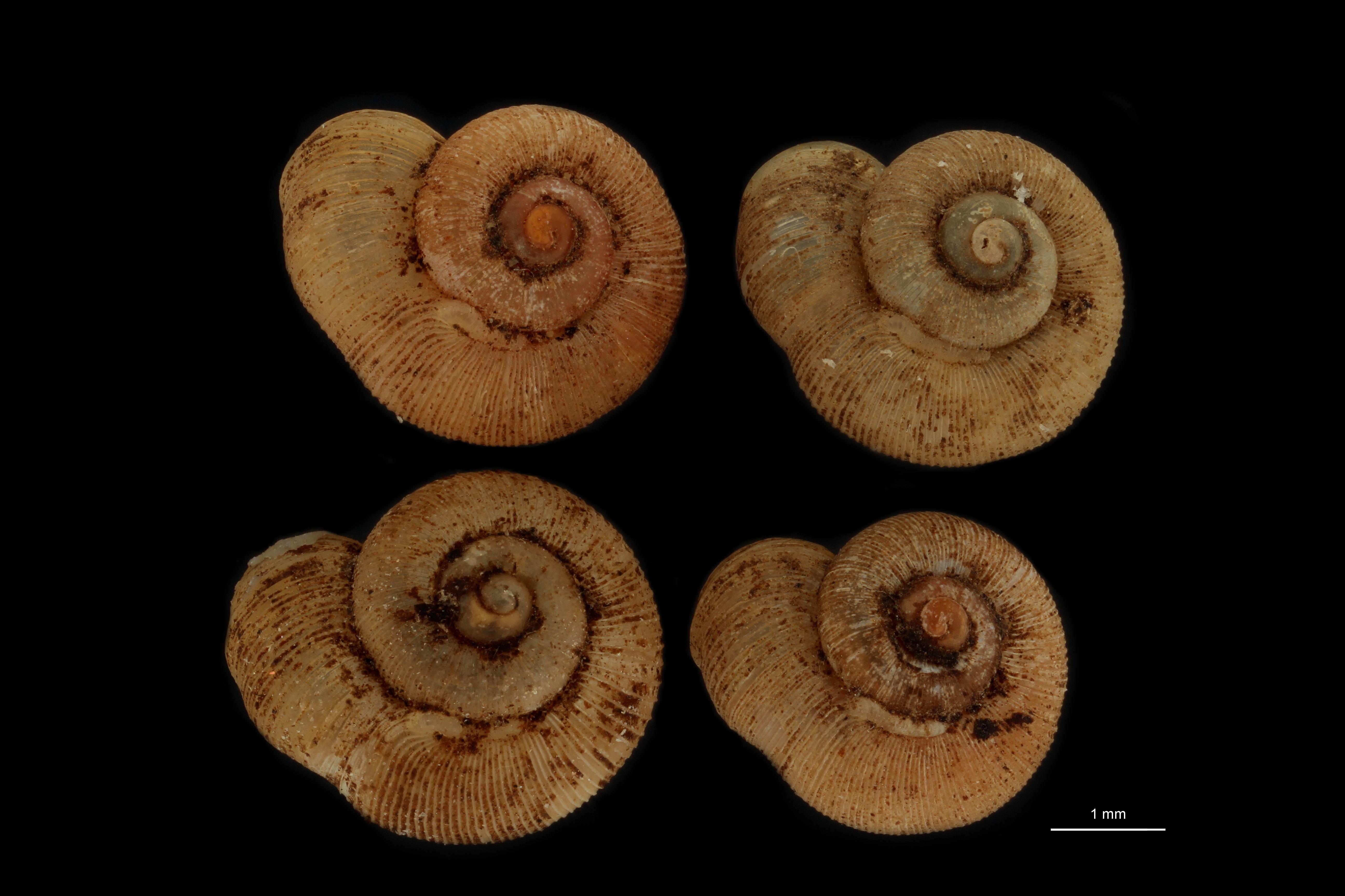 Alycaeus oshimanus pt GROUPE.jpg