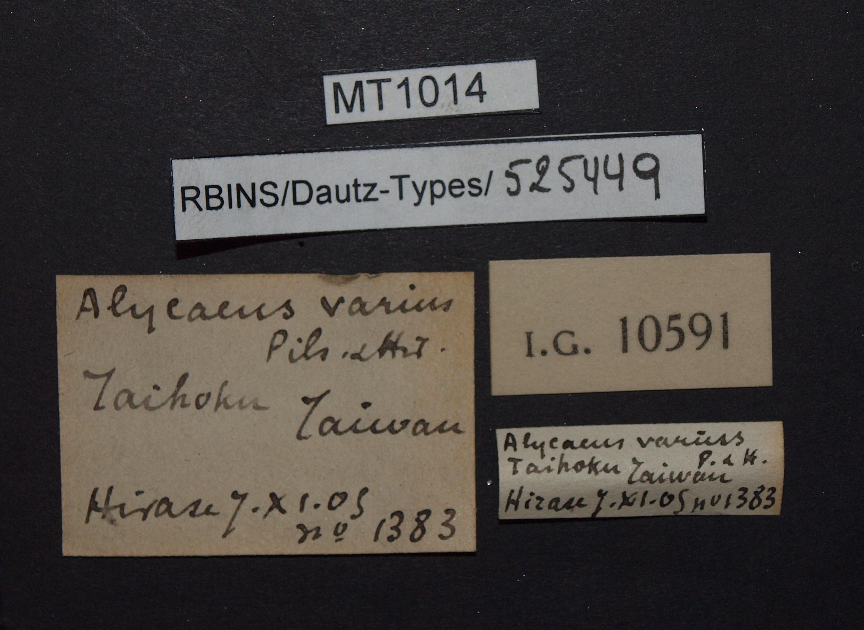 BE-RBINS-INV PARATYPE MT 1014 Alycaeus varius LABELS.jpg