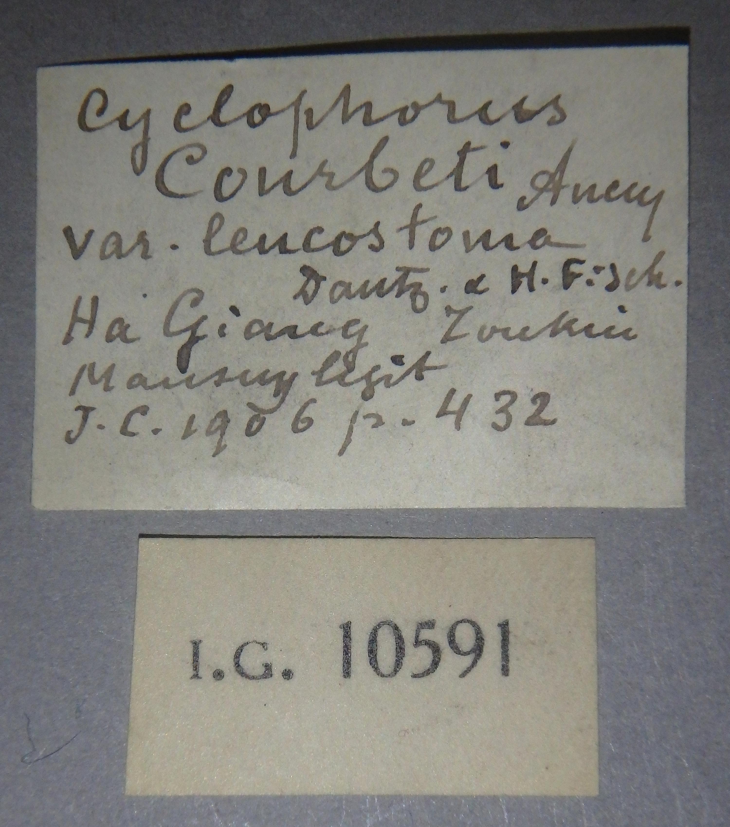 BE-RBINS-INV MT 894/1 Cyclophorus courbeti var. leucostoma pt Lb.jpg