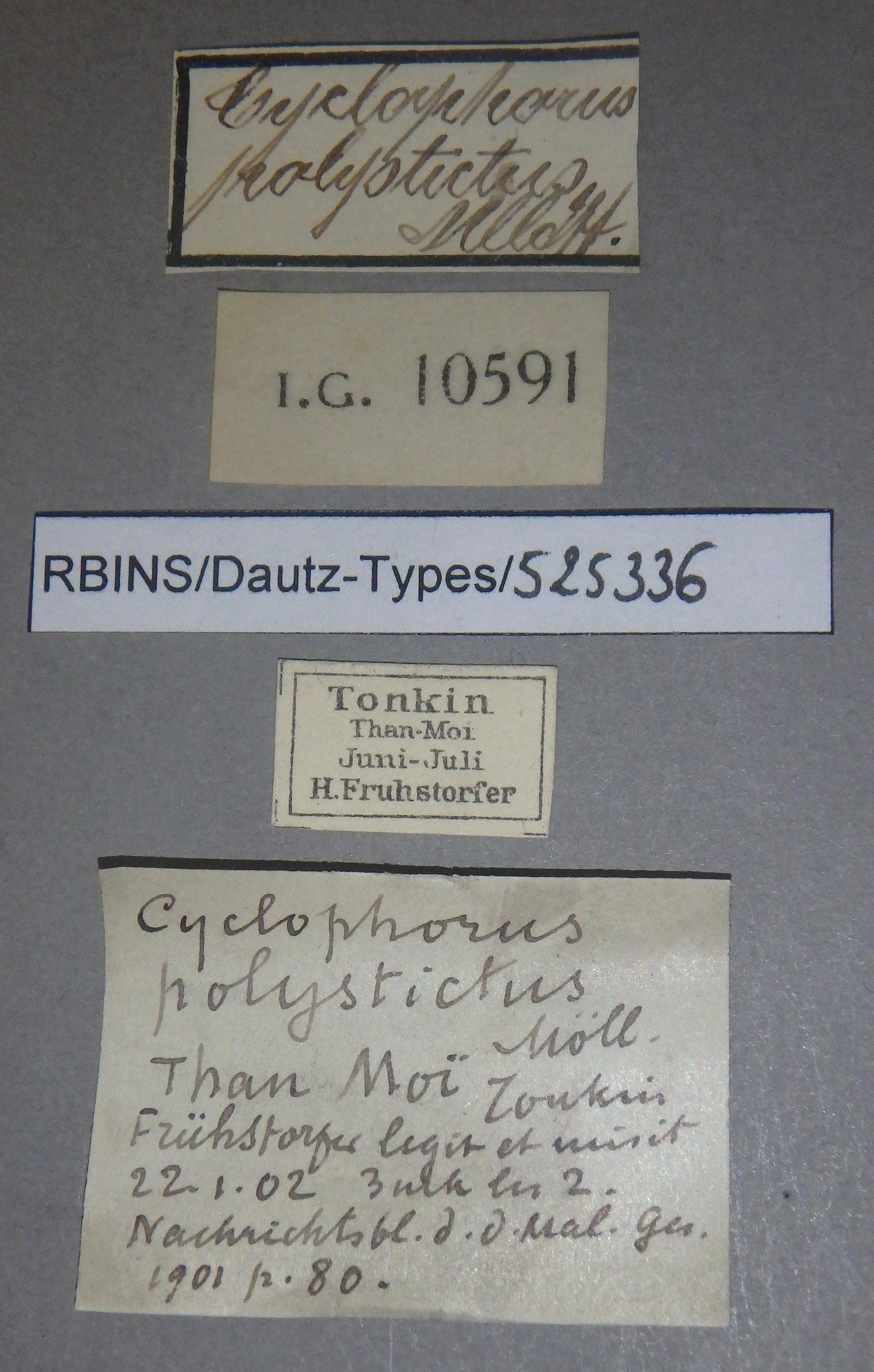 BE-RBINS-INV MT 915/2 Cyclophorus (Eucyclophorus) polystictus pt Lb.jpg