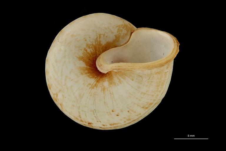 BE-RBINS-INV PARATYPE MT 896 Cyclophorus fernandezi var. occidentalis BUCAL.jpg