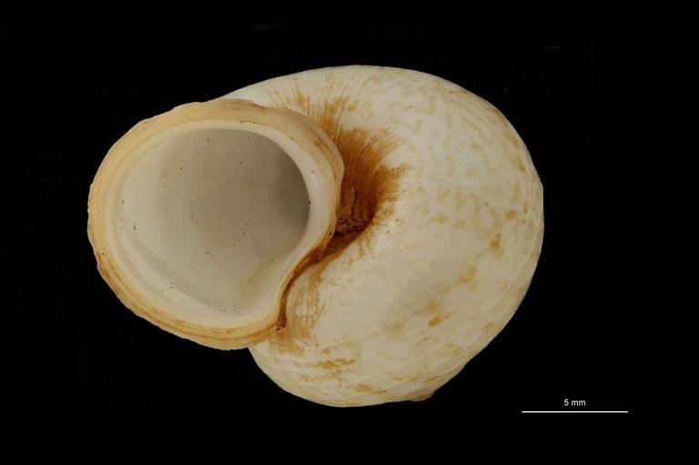 BE-RBINS-INV PARATYPE MT 896 Cyclophorus fernandezi var. occidentalis FRONTAL.jpg